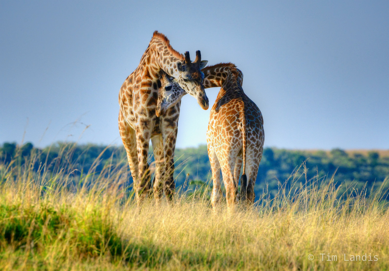 Caress, embrace, giraffes in love, hugs, love, necking, photo