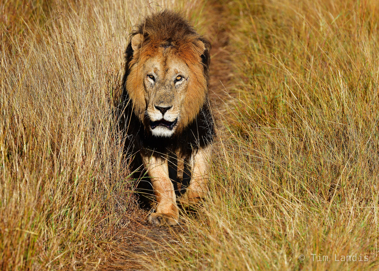 Masa Mara, male lion, walking lionm.black maned lion, photo