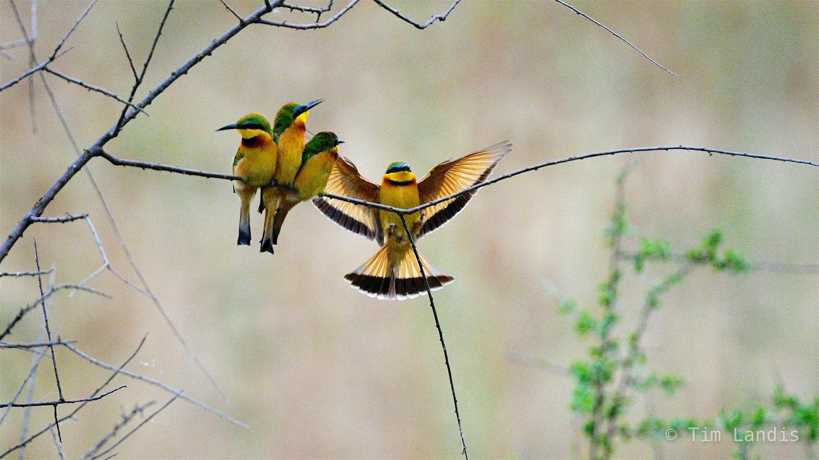 Four Bee eaters on a branch, photo