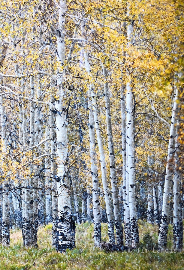 Aspen grove with first snow, photo