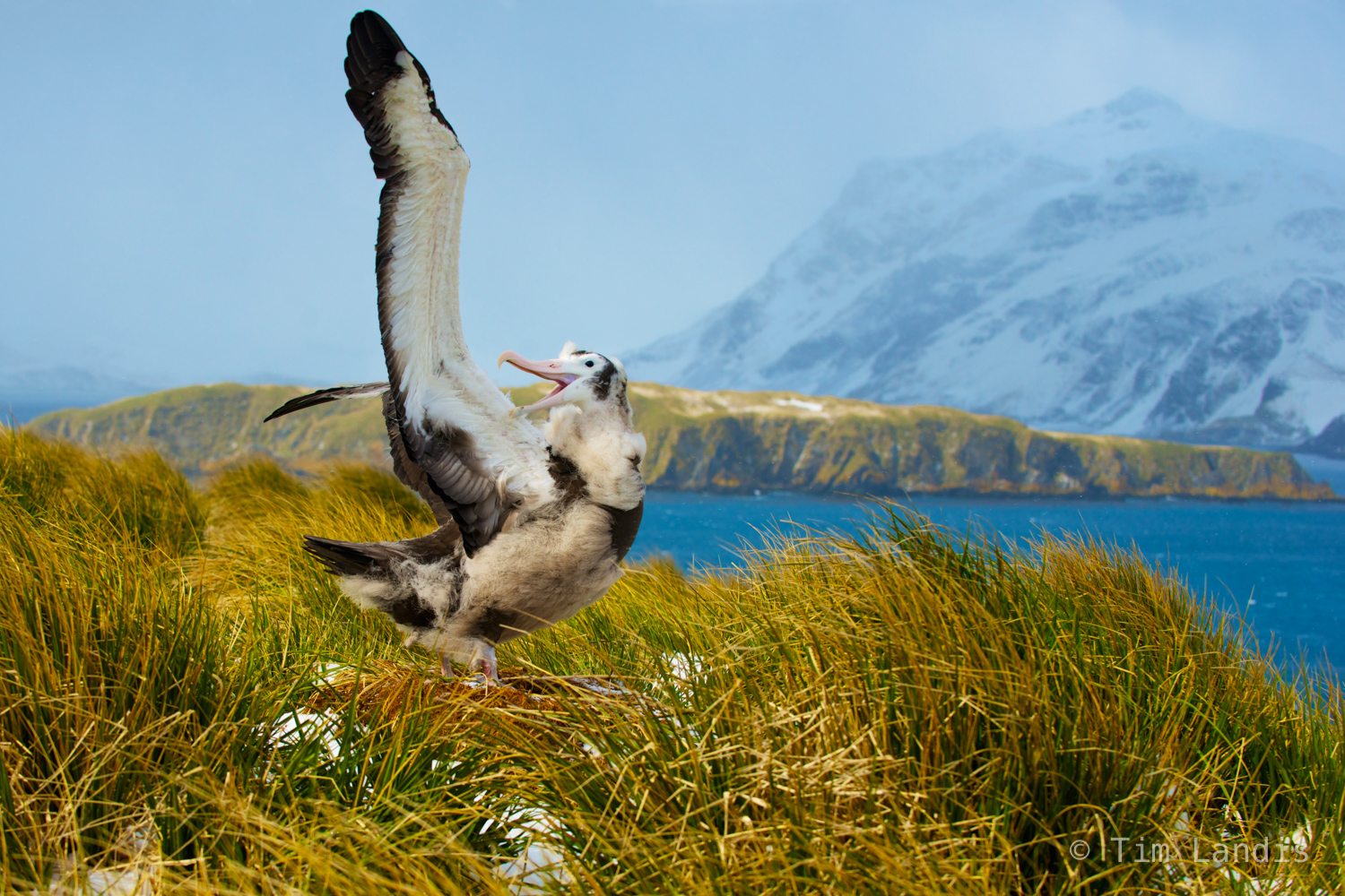 albatross, preflight check out, wandering albatross, photo