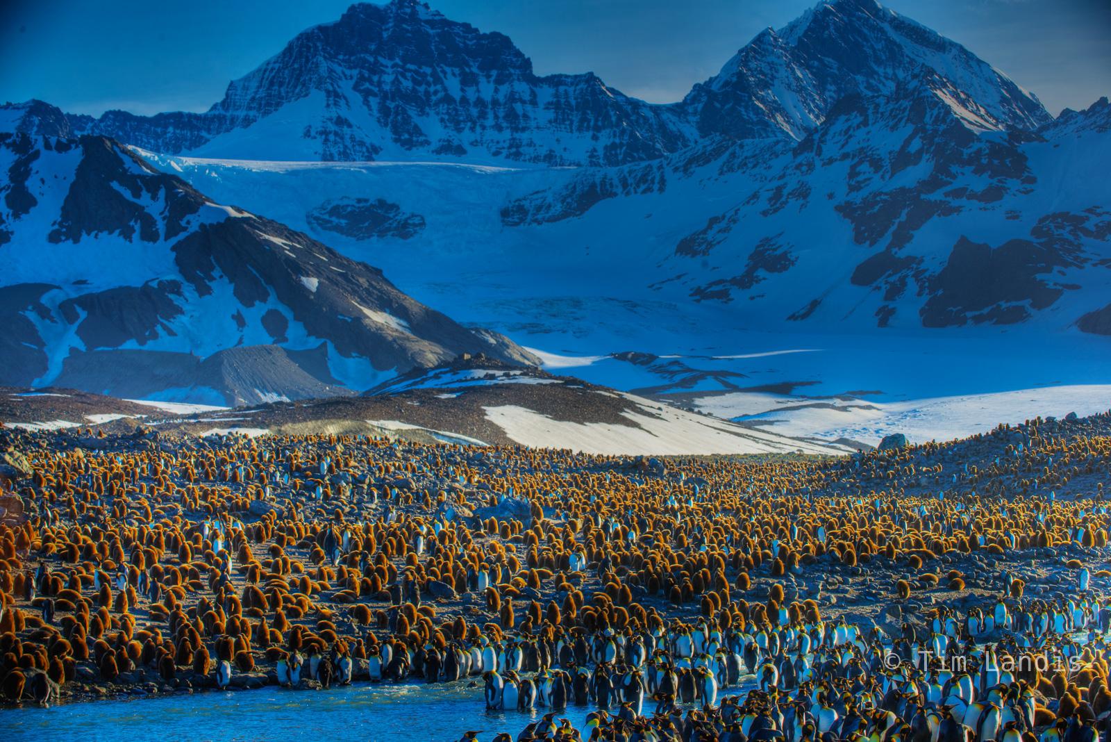 Baby King penguins., breeding grounds of S. Georgia Islands, brown woolies, photo
