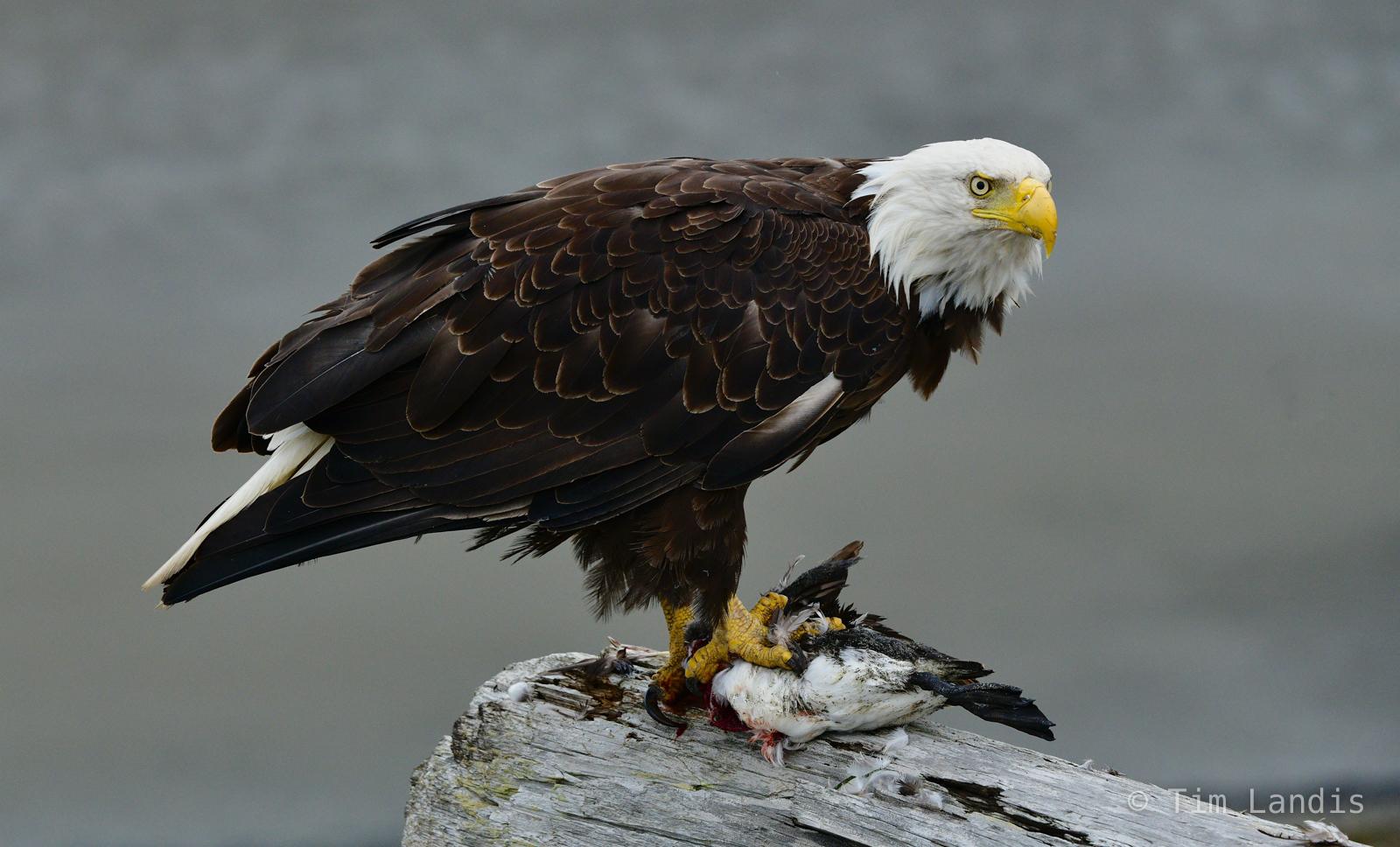 Bald Eagle with Duck, Bald eagle, Eagle with Kill, photo