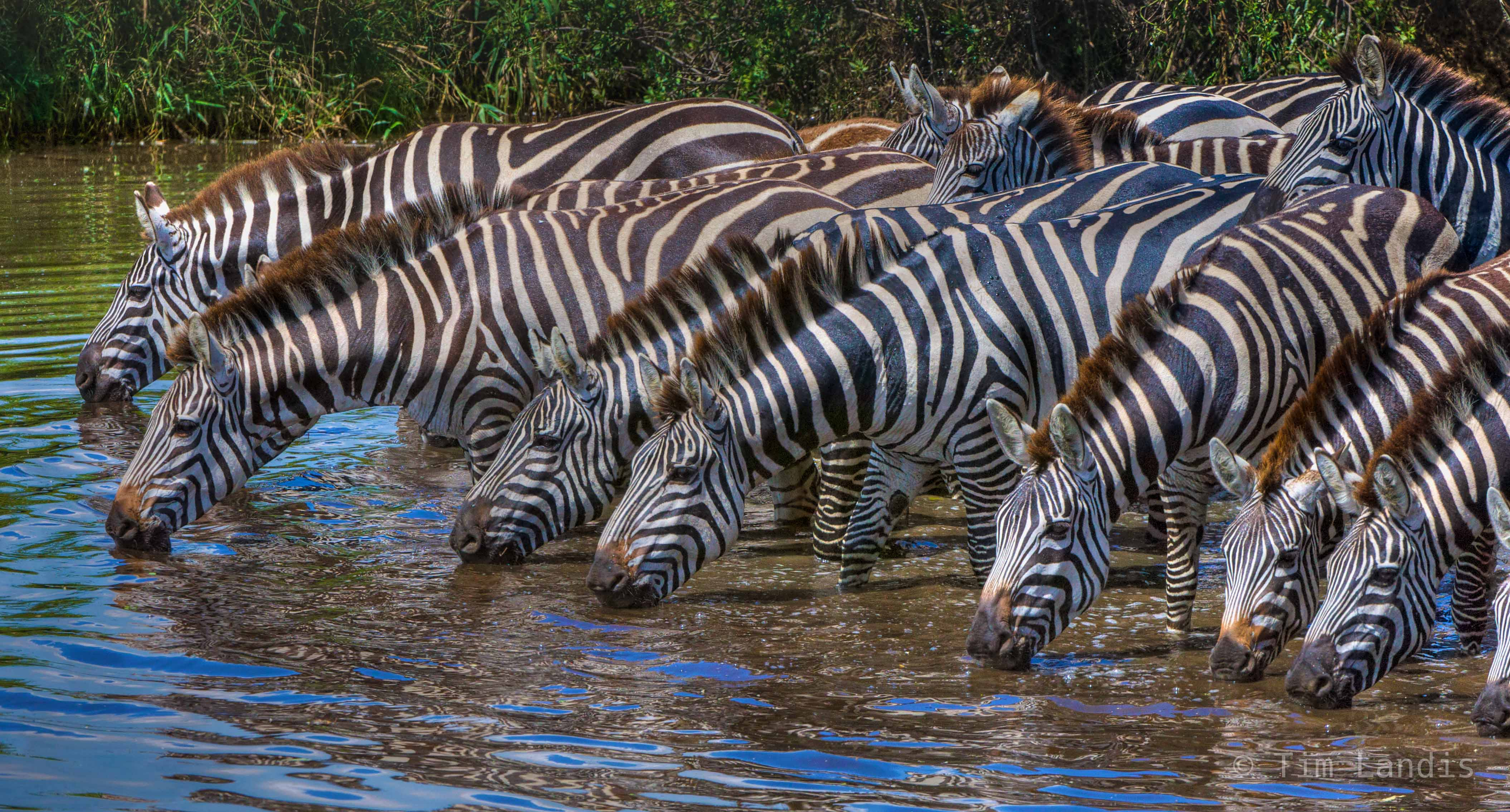 Cool water for thirsty zebras, , photo