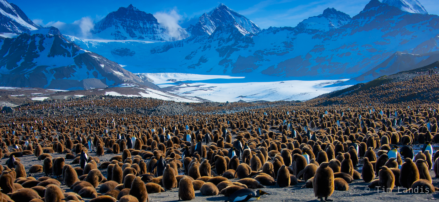 000 brownies, 10, immature king penguins, king penguin babies in front of glacier, photo