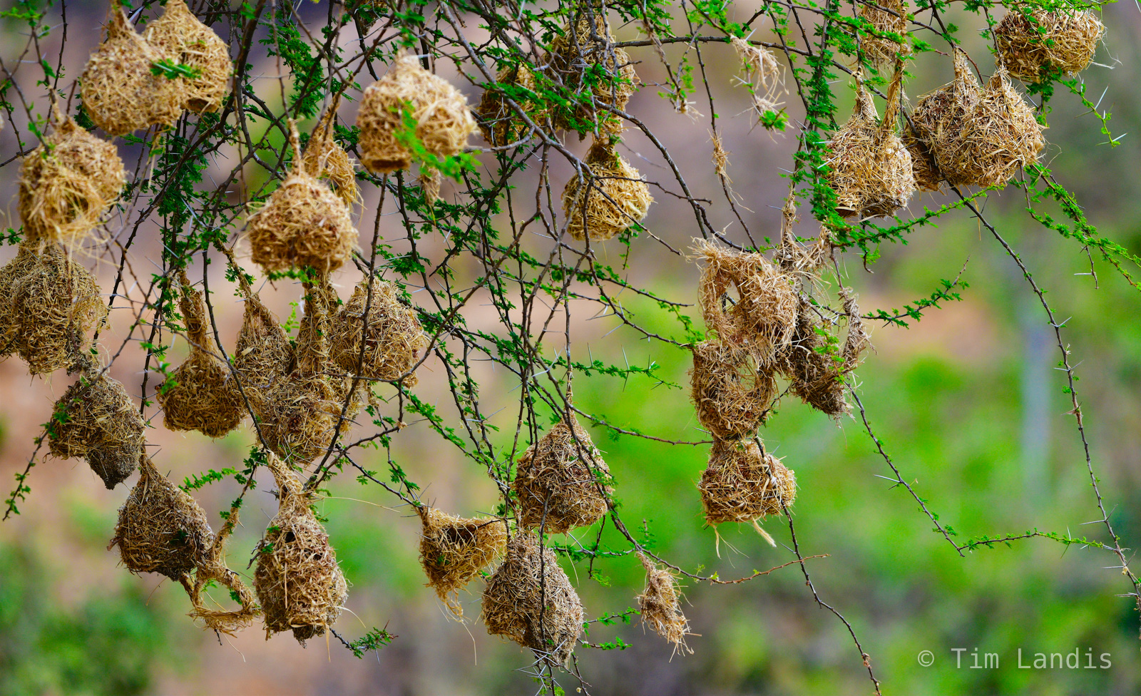 Weaver finches nests, nests in an acacia tree, photo