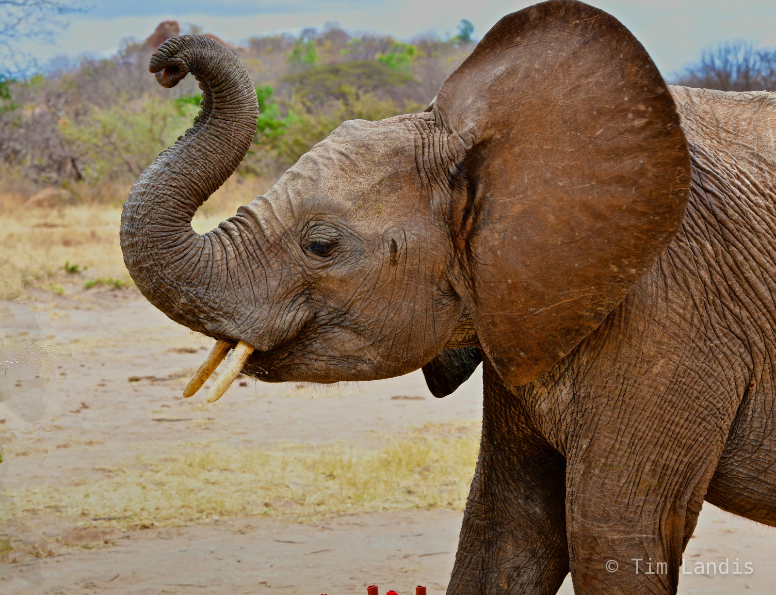 elephant preservation, ithumba, kenya, training orphan elephants to be wild, photo