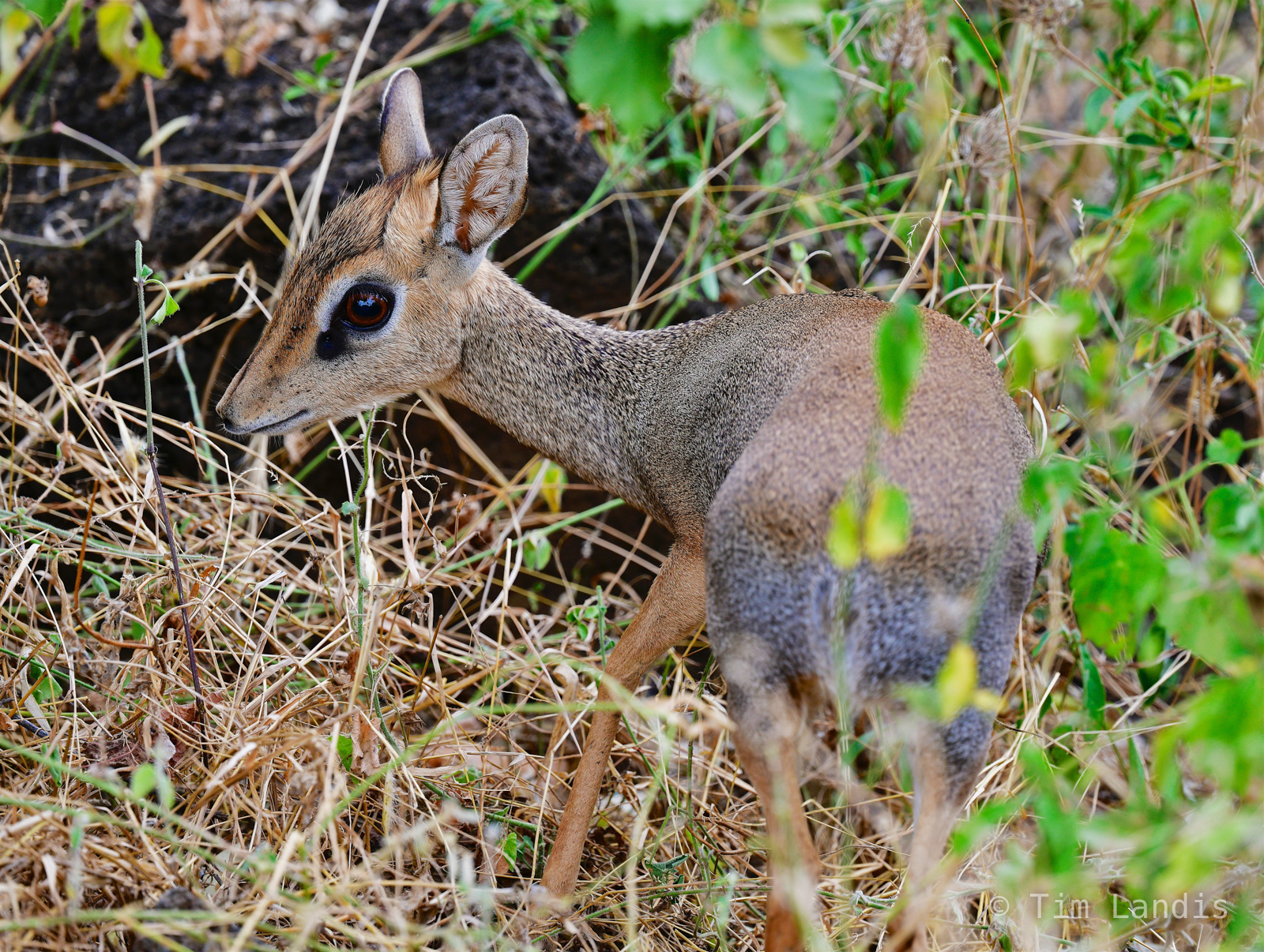 Dik-dik, a deer 18 inches tall, second smallest member of the deer family, photo