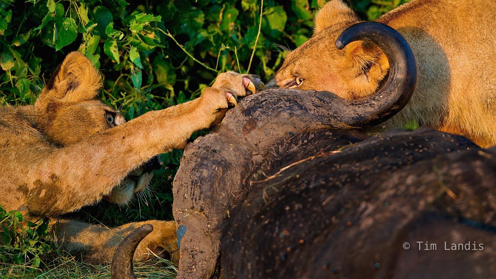 Africa, Botswanna, Duma Tau, claws, eyes, horns, lions with Buffalo., talons, photo