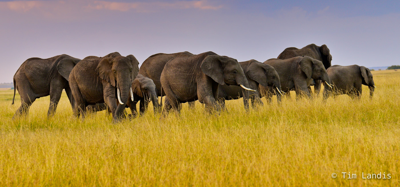 Masa Mara, Nine elephants grazing, elephant portrait, tusks, photo