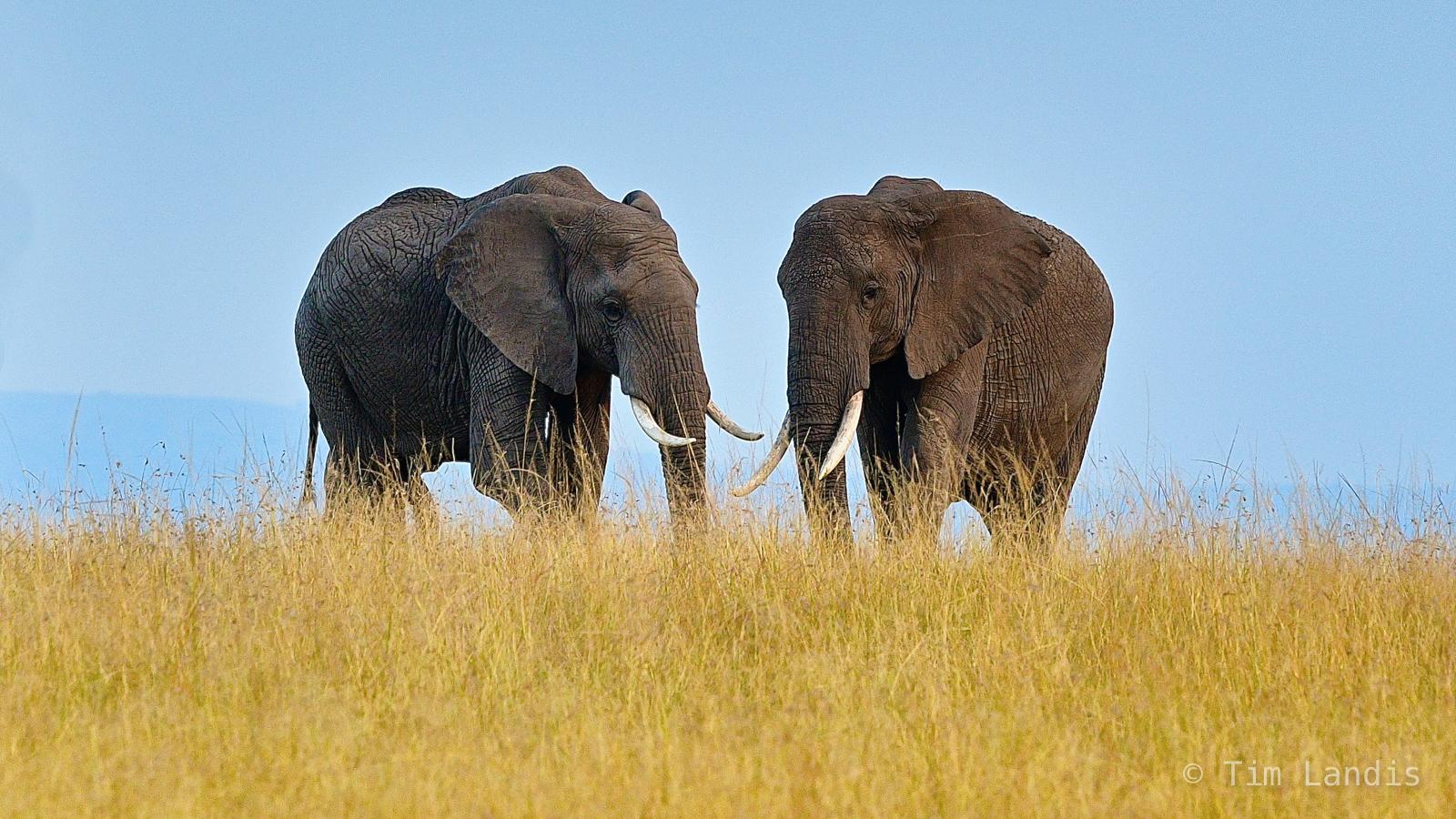 Ambroselli, kenya, two large elephants, photo