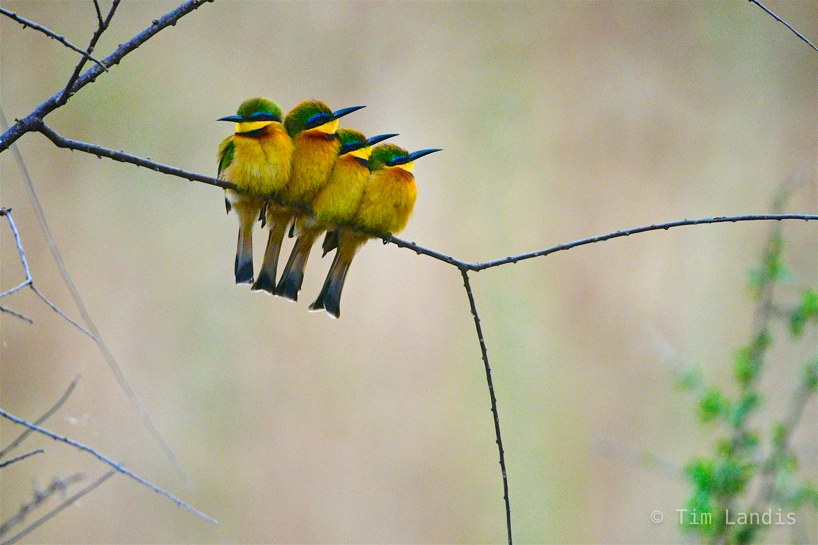 Four little bee eaters, bee eaters in a row, photo