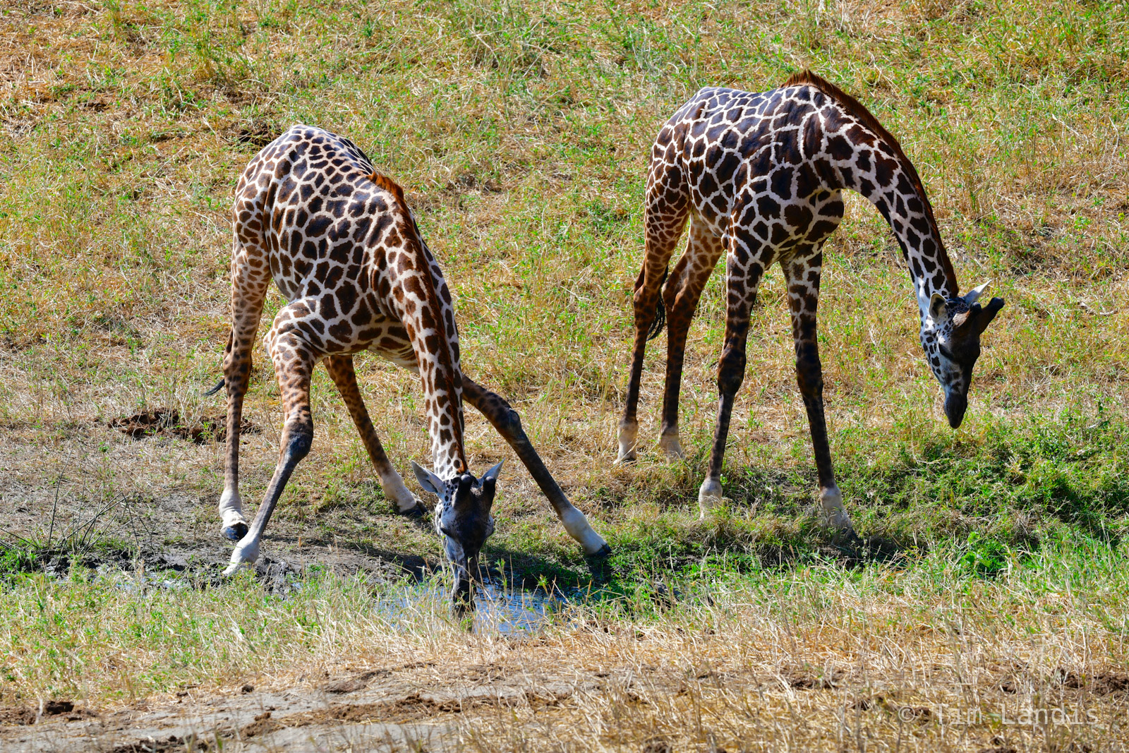 Kenay, giraffes drinking, photo