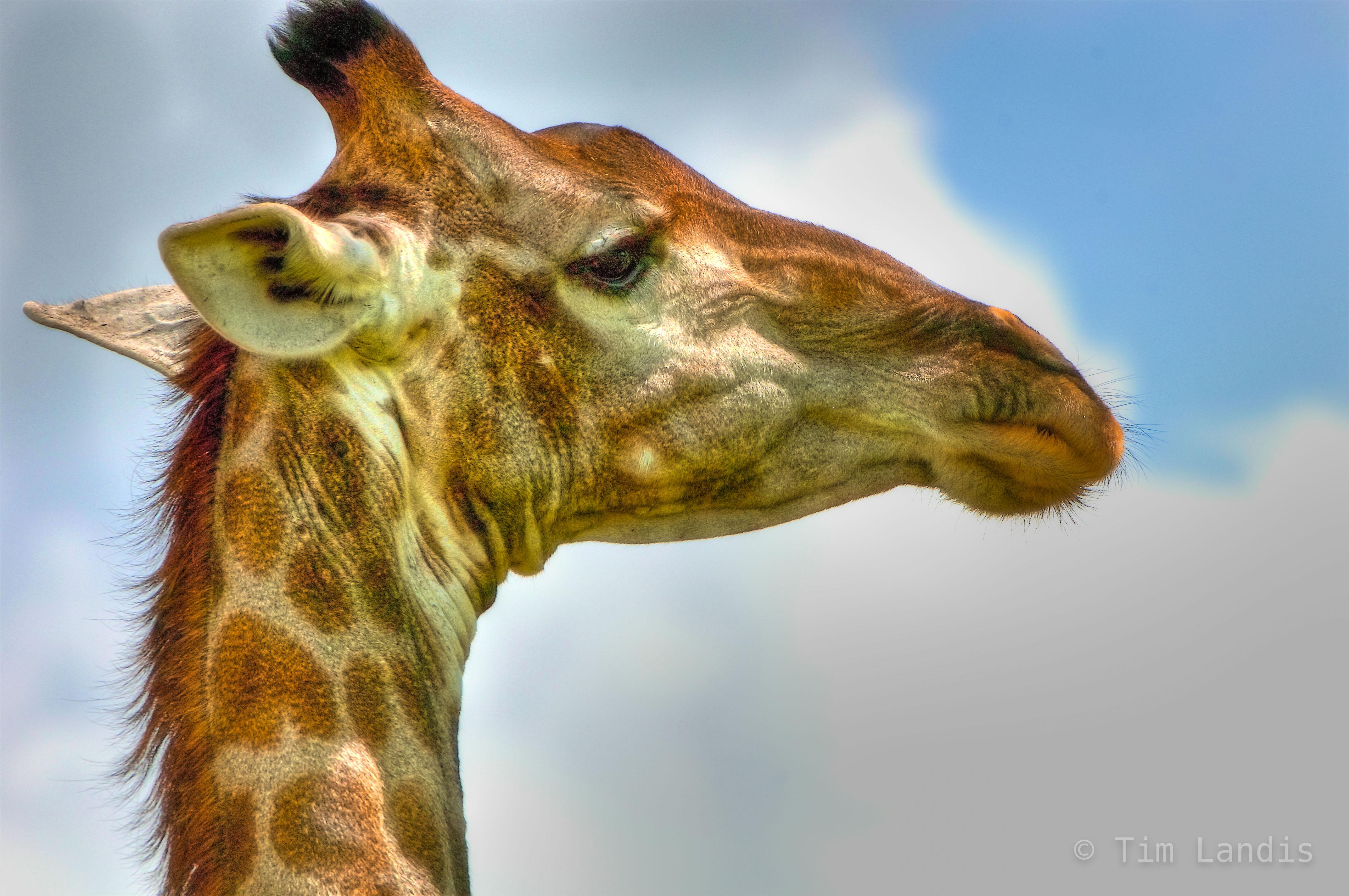 giraffe portrait, photo