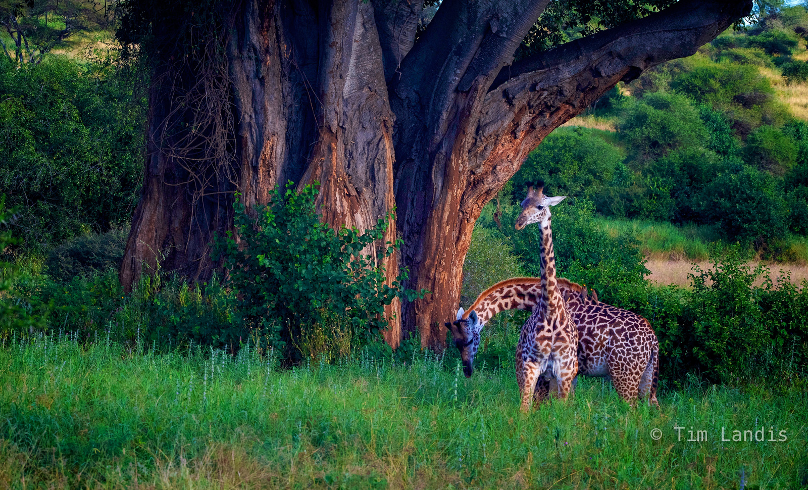 Baobab tree, Botswanna, giraffes, two giraffes, photo