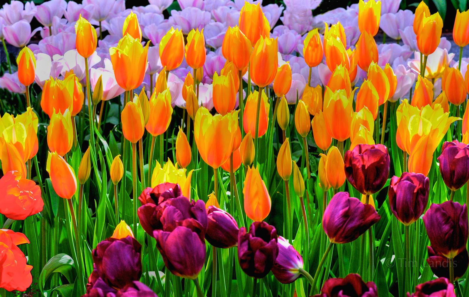 Holland, golden, kukenhof Gardens, lavender, tulip garden, tulips, yellow, photo