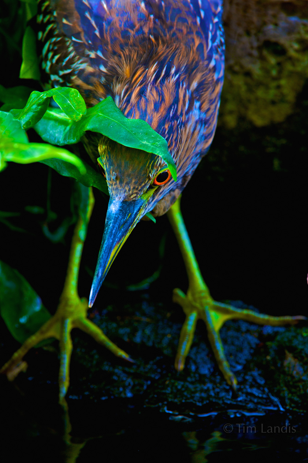 Green Heron, Hawaii, eyes, heron, heron fishing, night heron, yellow feet, photo