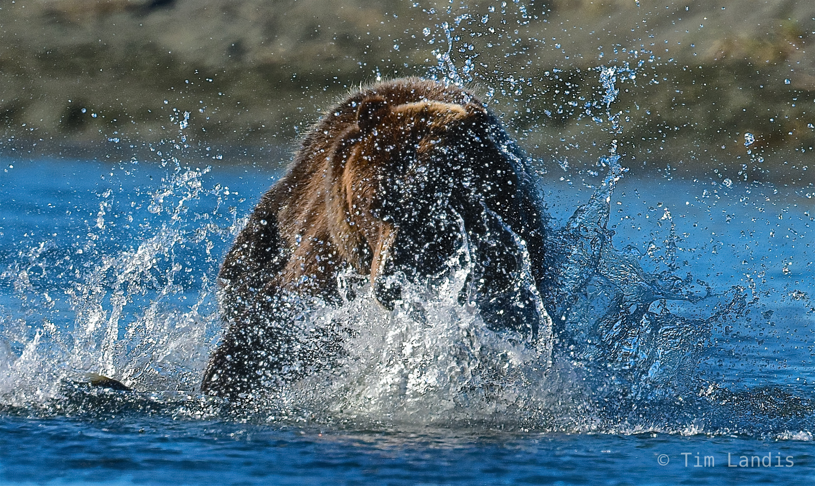Fattening up for the winter, grizzly fishing, grizzly pouncing, grizzly splashing, salmon, the salmon slayer, photo