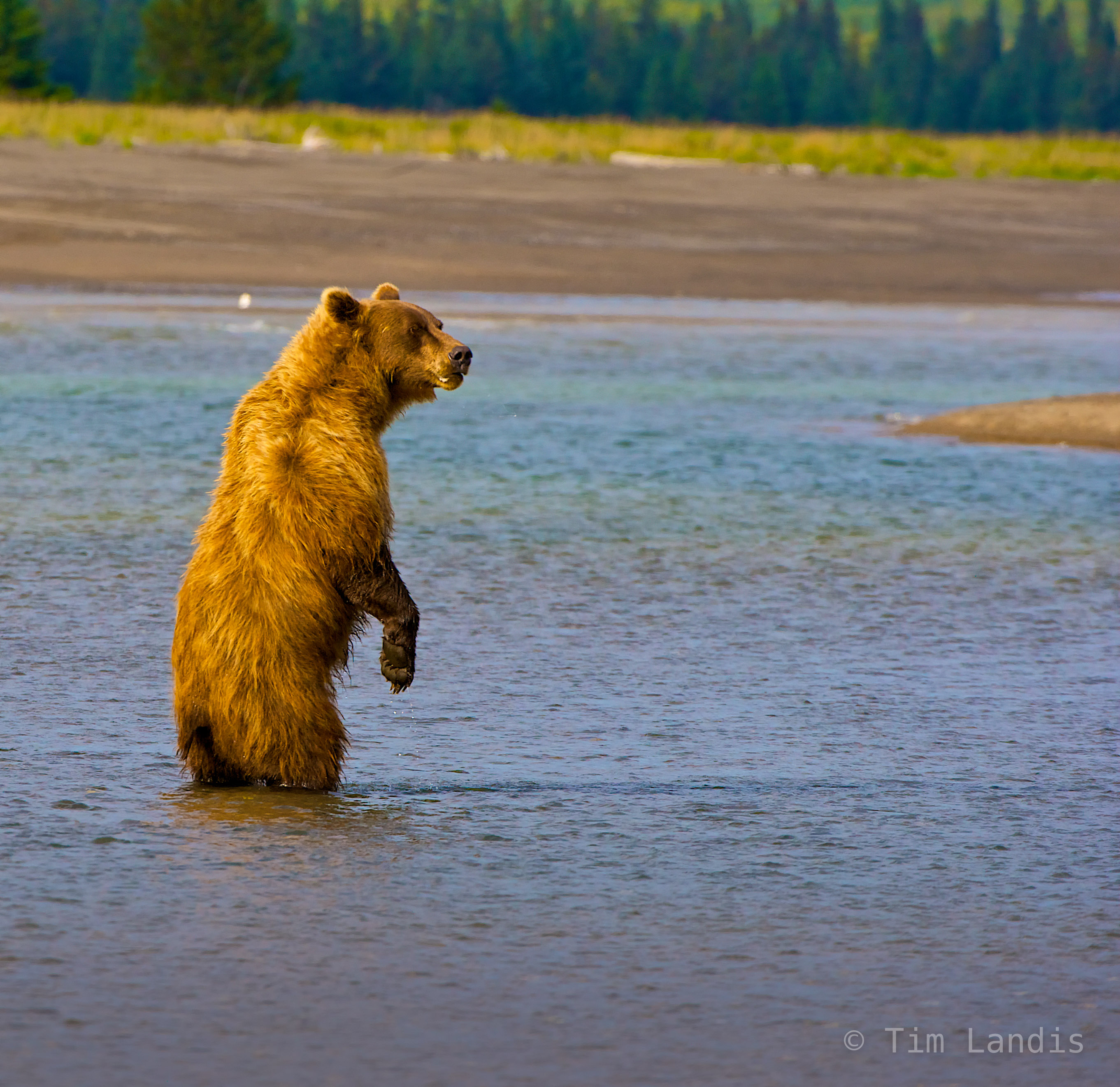 grizzly bear fishing, photo