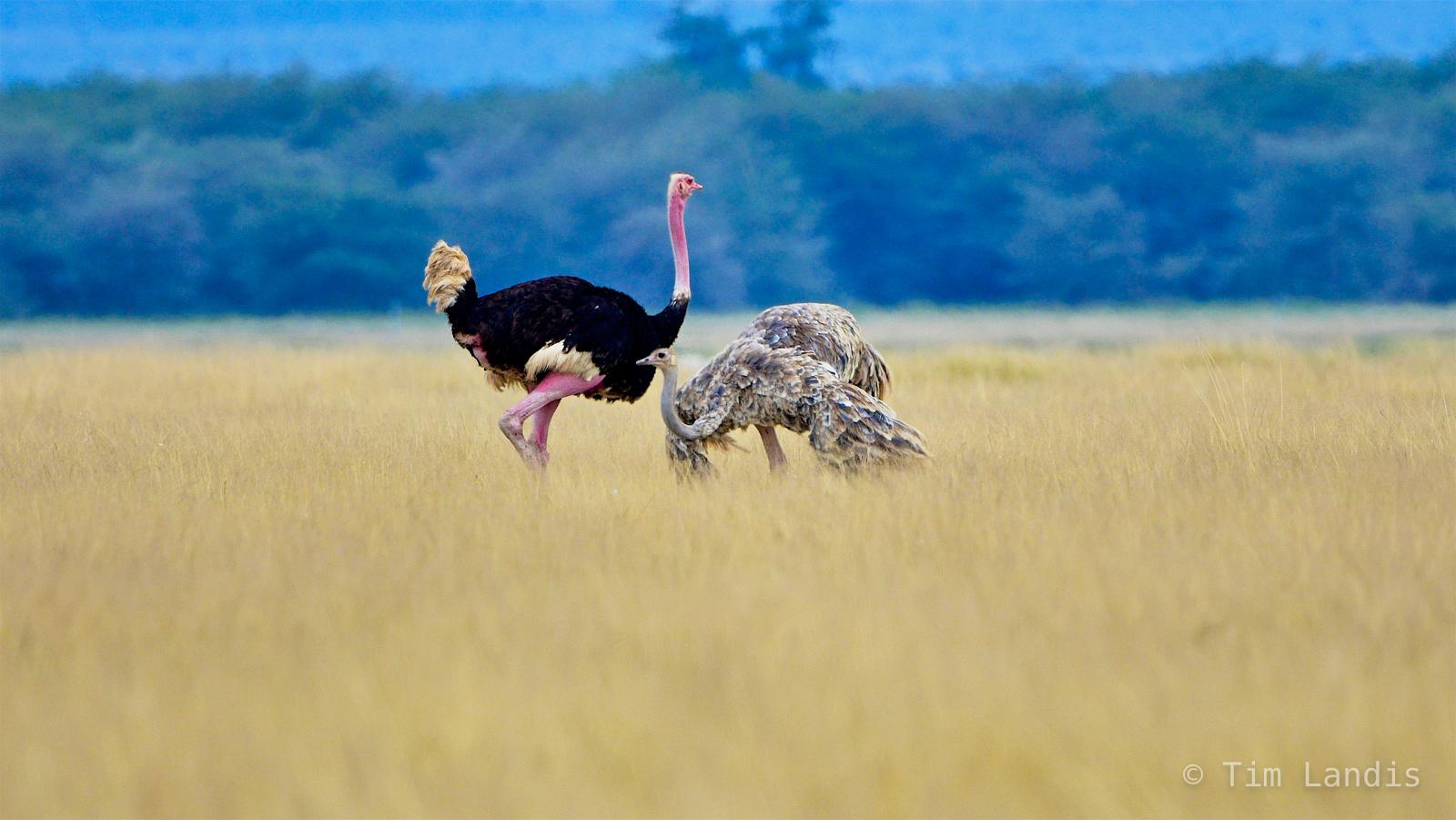 osterich courtship, photo