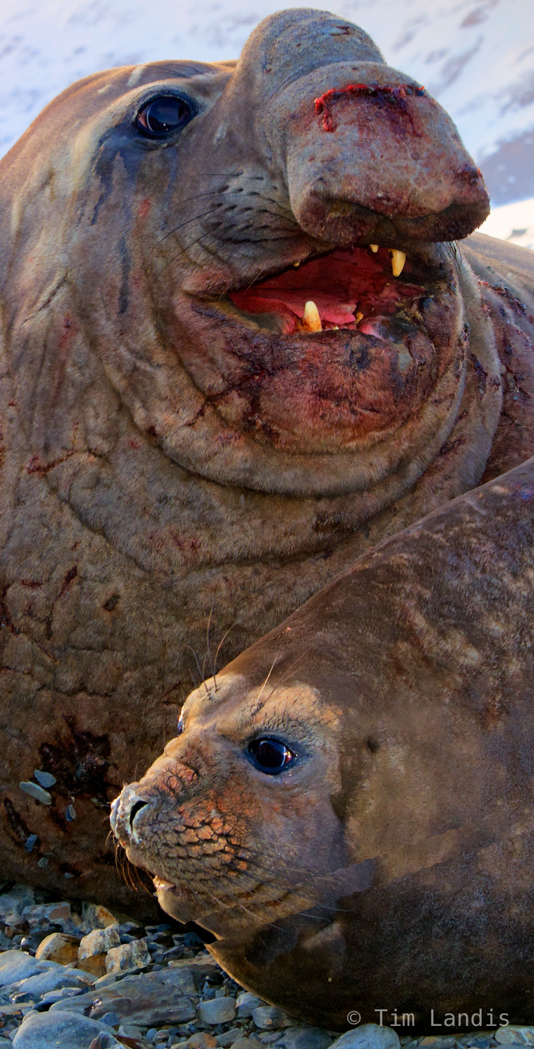 South Georgia Island, Southern elephant seal pair, affection, aftermath of a big fight, pride, submission, true love, photo