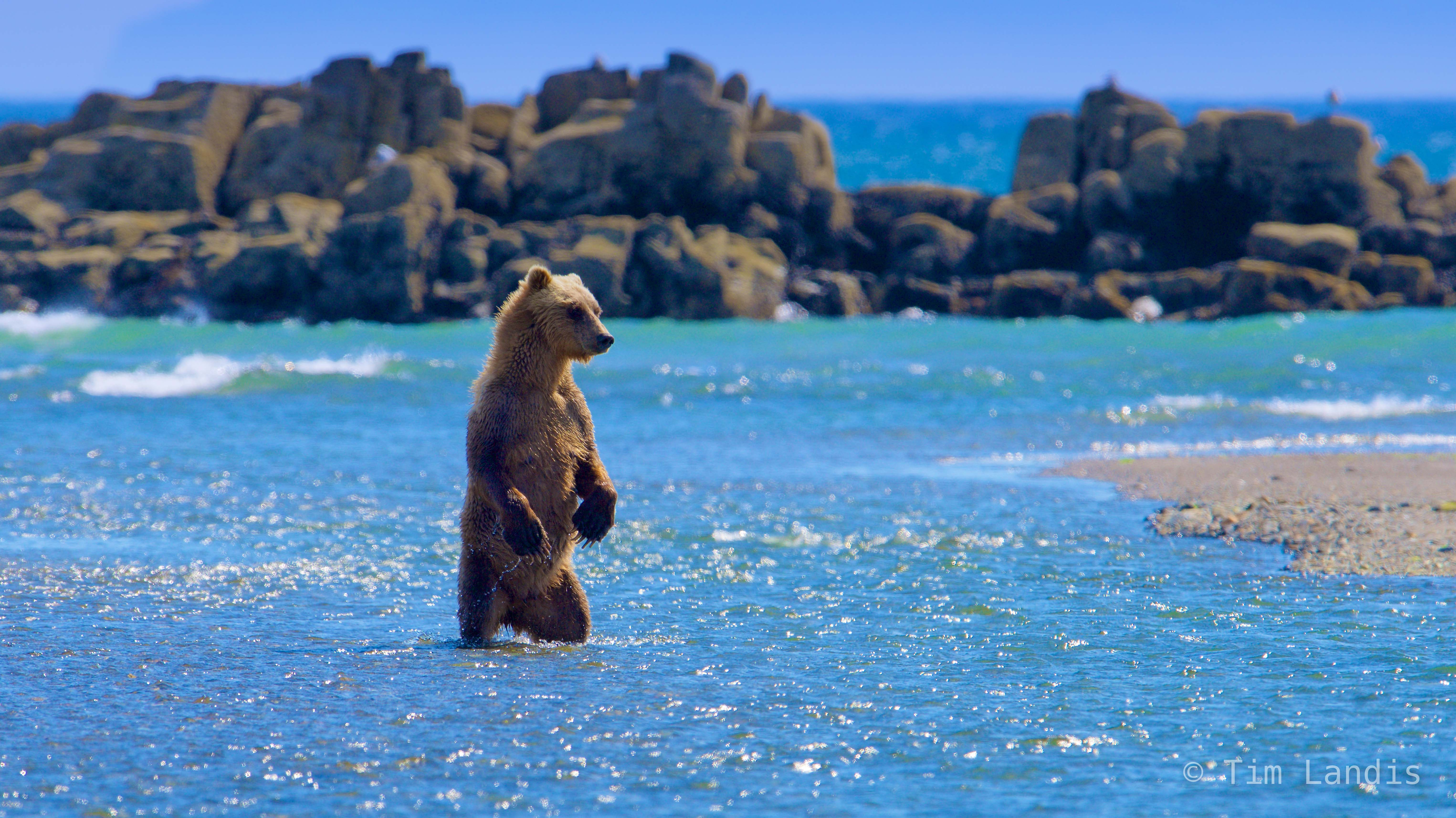 Alaska, grizzly bear fishing, grizzly bear standing in water, photo