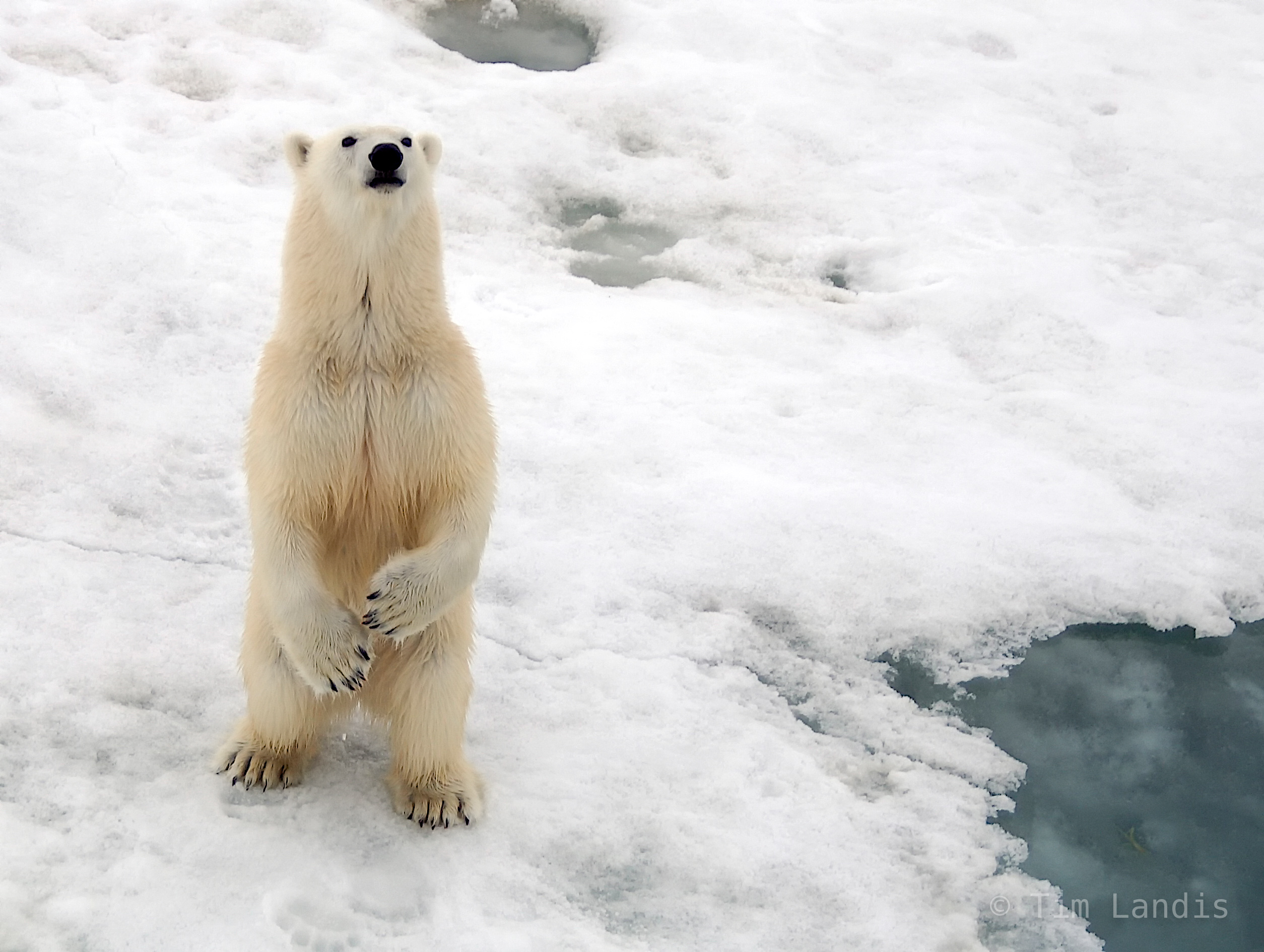 North Pole, ice flow, polar bear on ice berg, photo