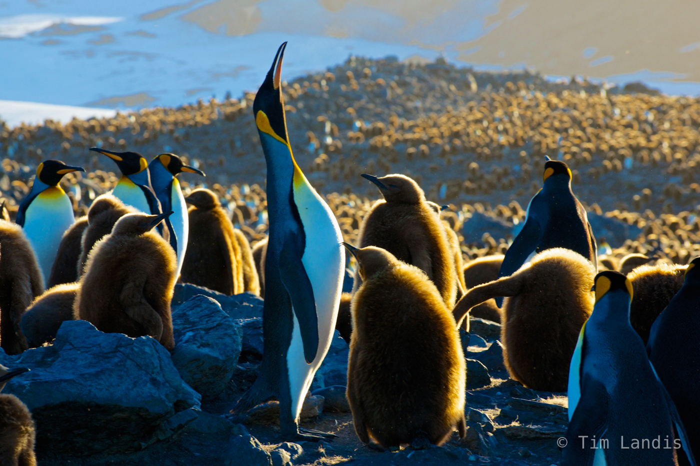 Mother feeding baby, Southern Georgia Islands, king penguin colony, little brownies, photo
