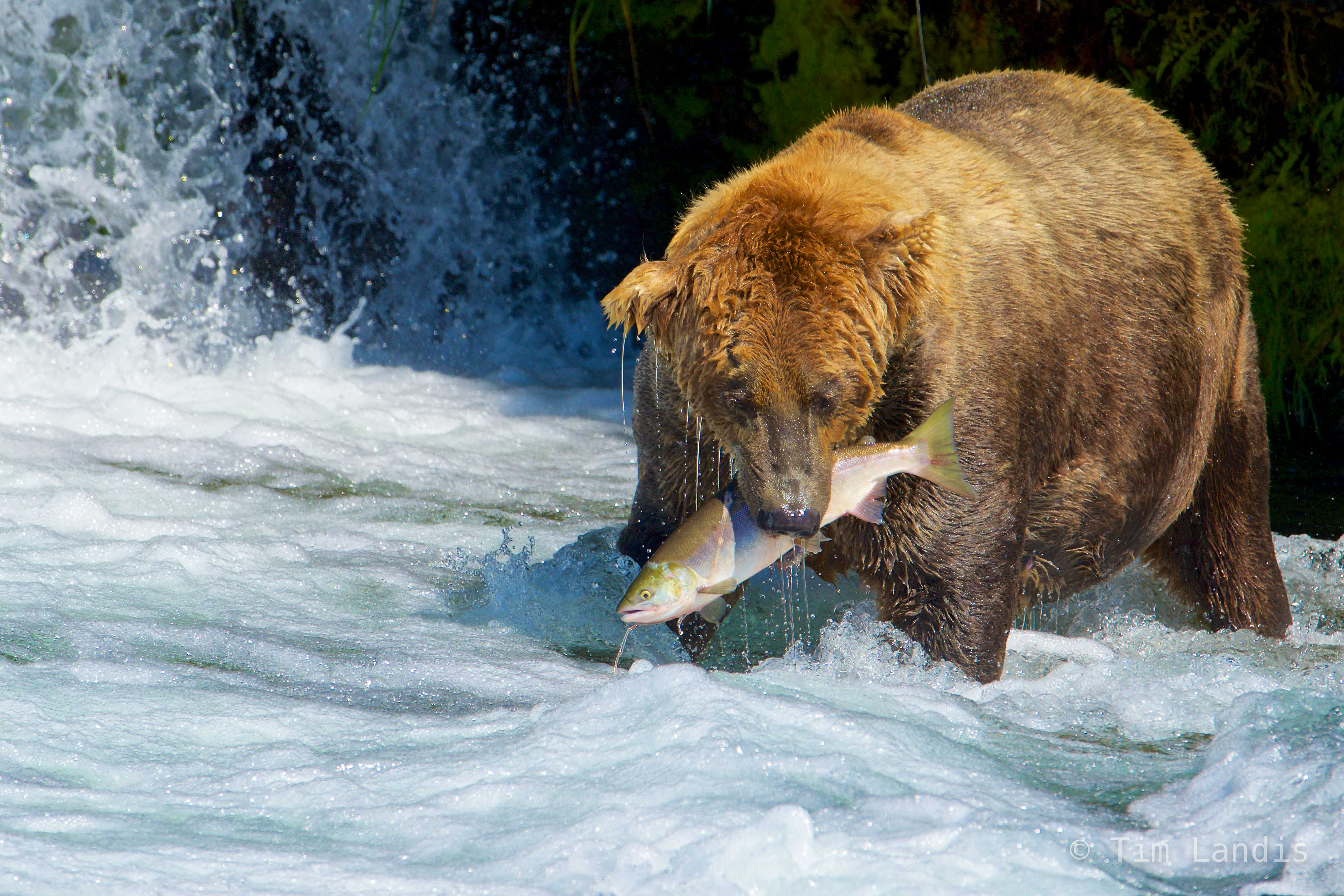 alaskan grizzly bear with salmon, full face view, grizzly with salmon and waterfall, photo