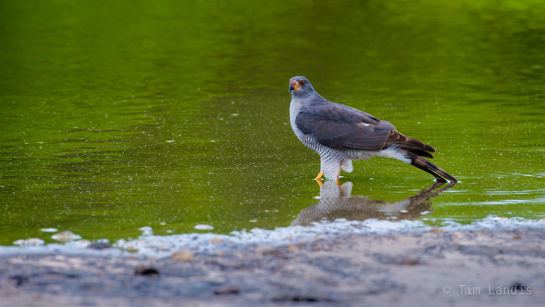 Botswanna, Kestril, bird of prey, chobe, photo