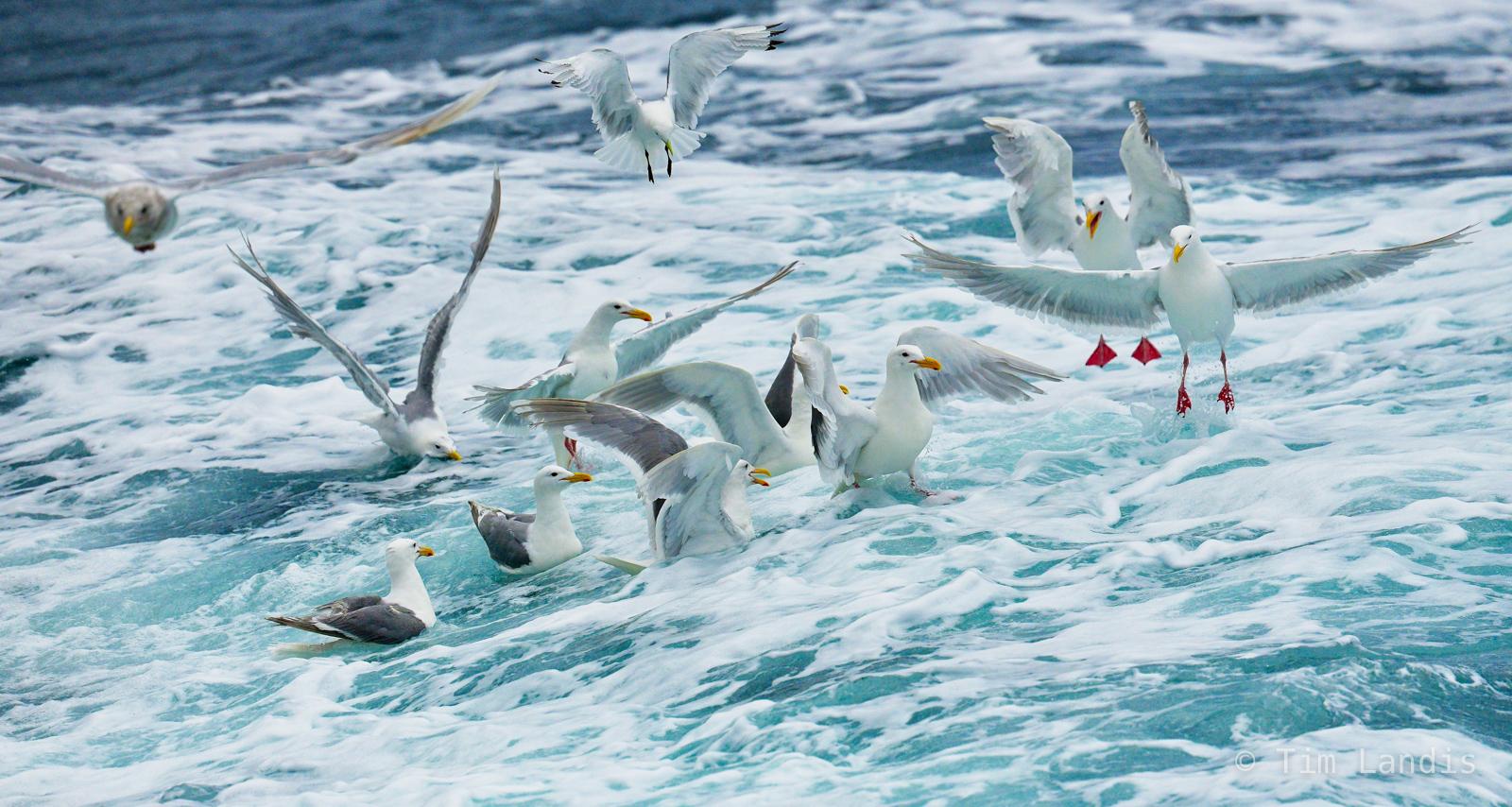 Kittiwake, bubbles, sea gulls feeding, splash, photo