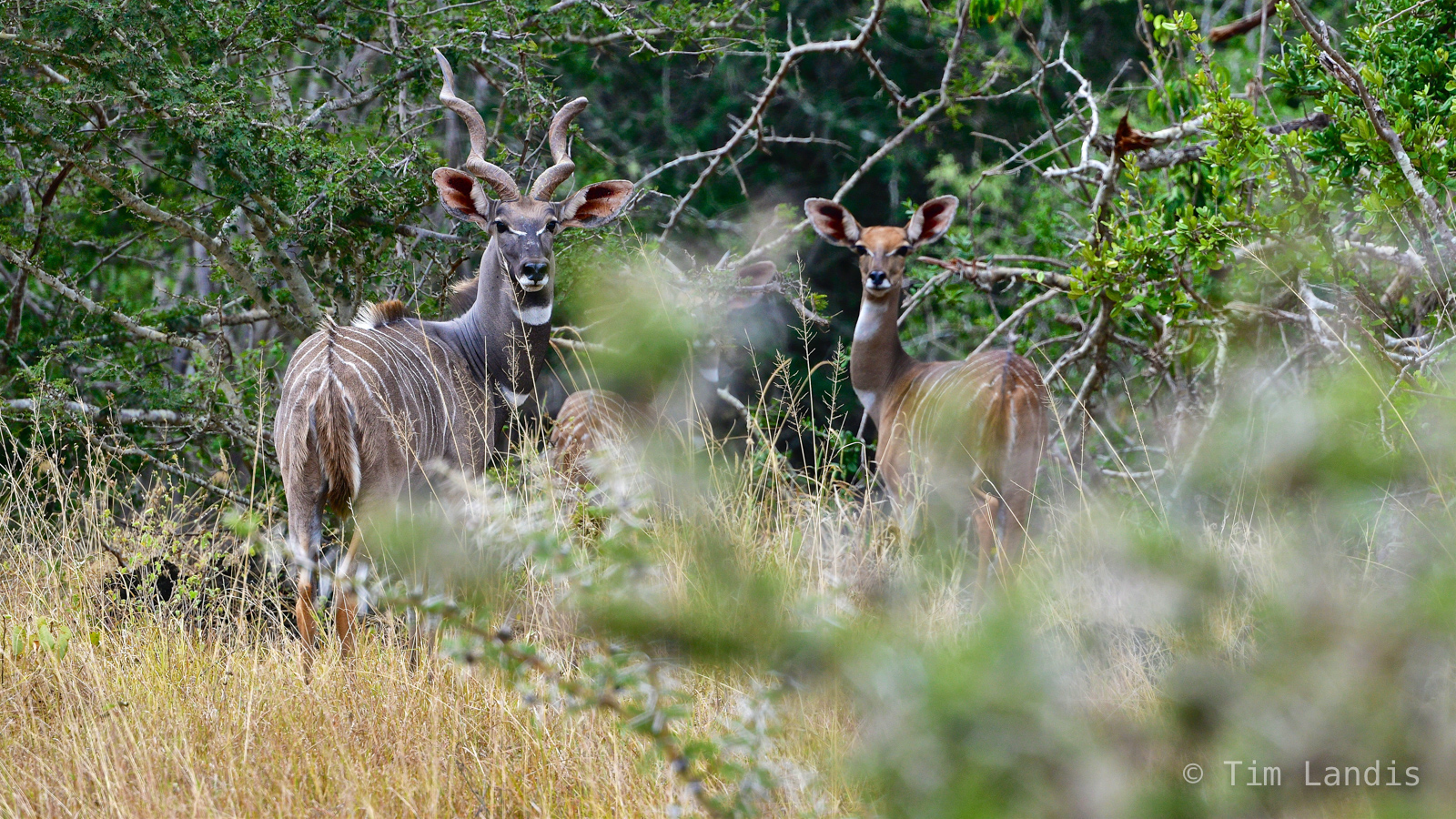 Greater Kudu, Kudus, greatest sexual dimorphism, male and female Kudus, photo