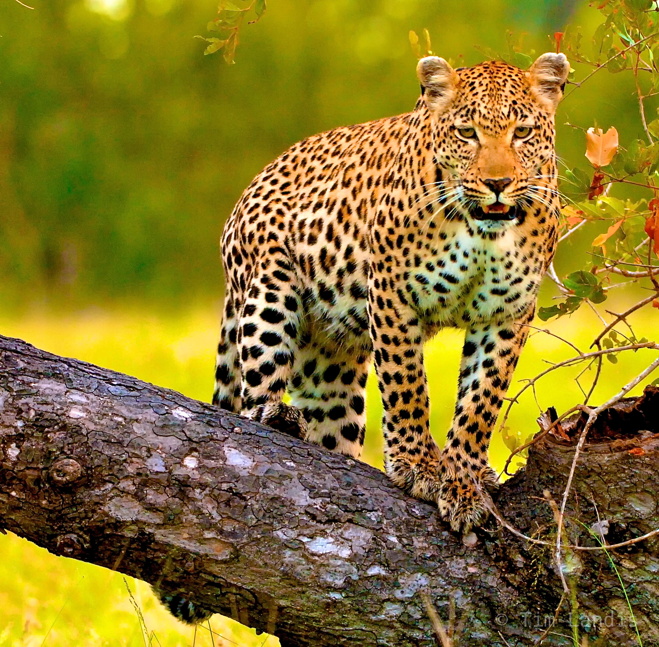 South Africa, leopard on a log, leopards, photo