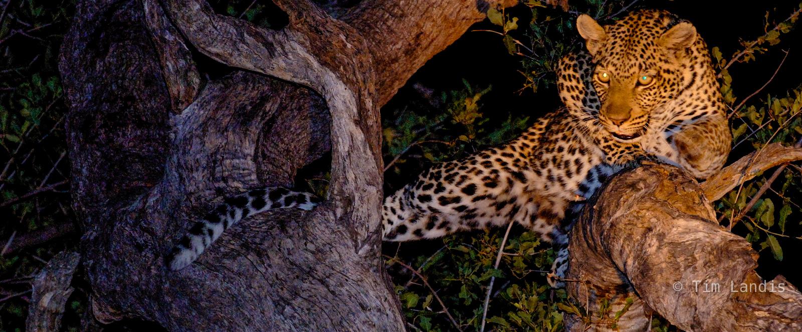 leopard, leopard at night, leopard in tree, leopard sneaking up, photo