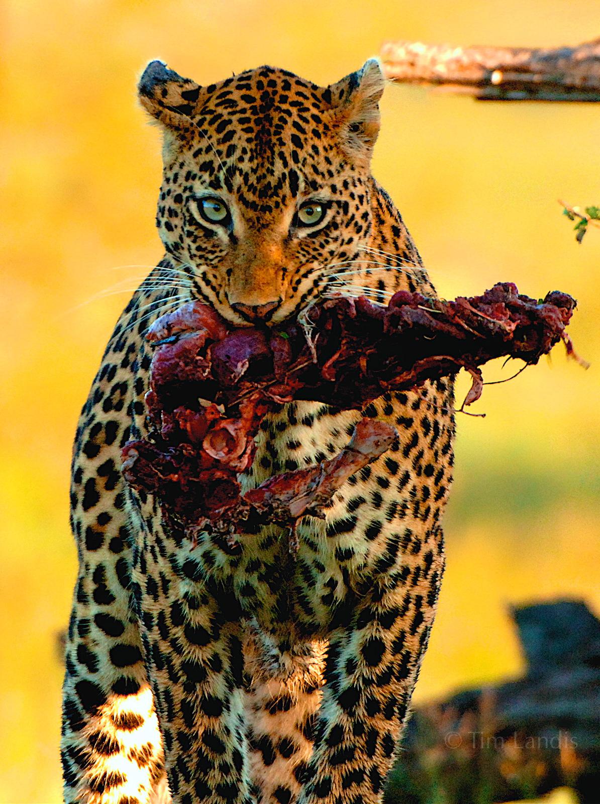 Leopard with kill, South Africa, eyes, feeding, impala, kill, leopards, photo