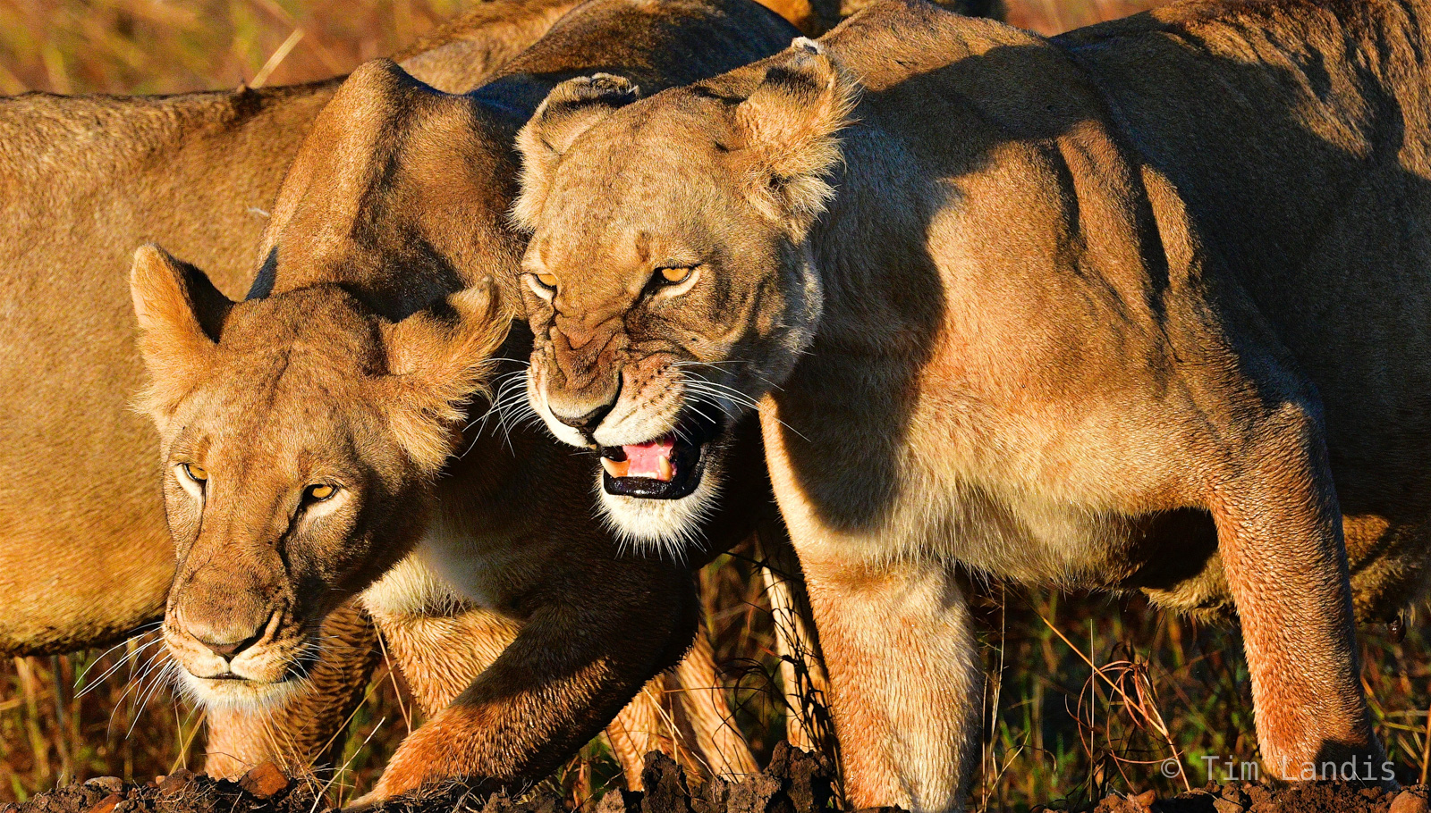 Anger, aggrevation, irritation, lions snarling, photo