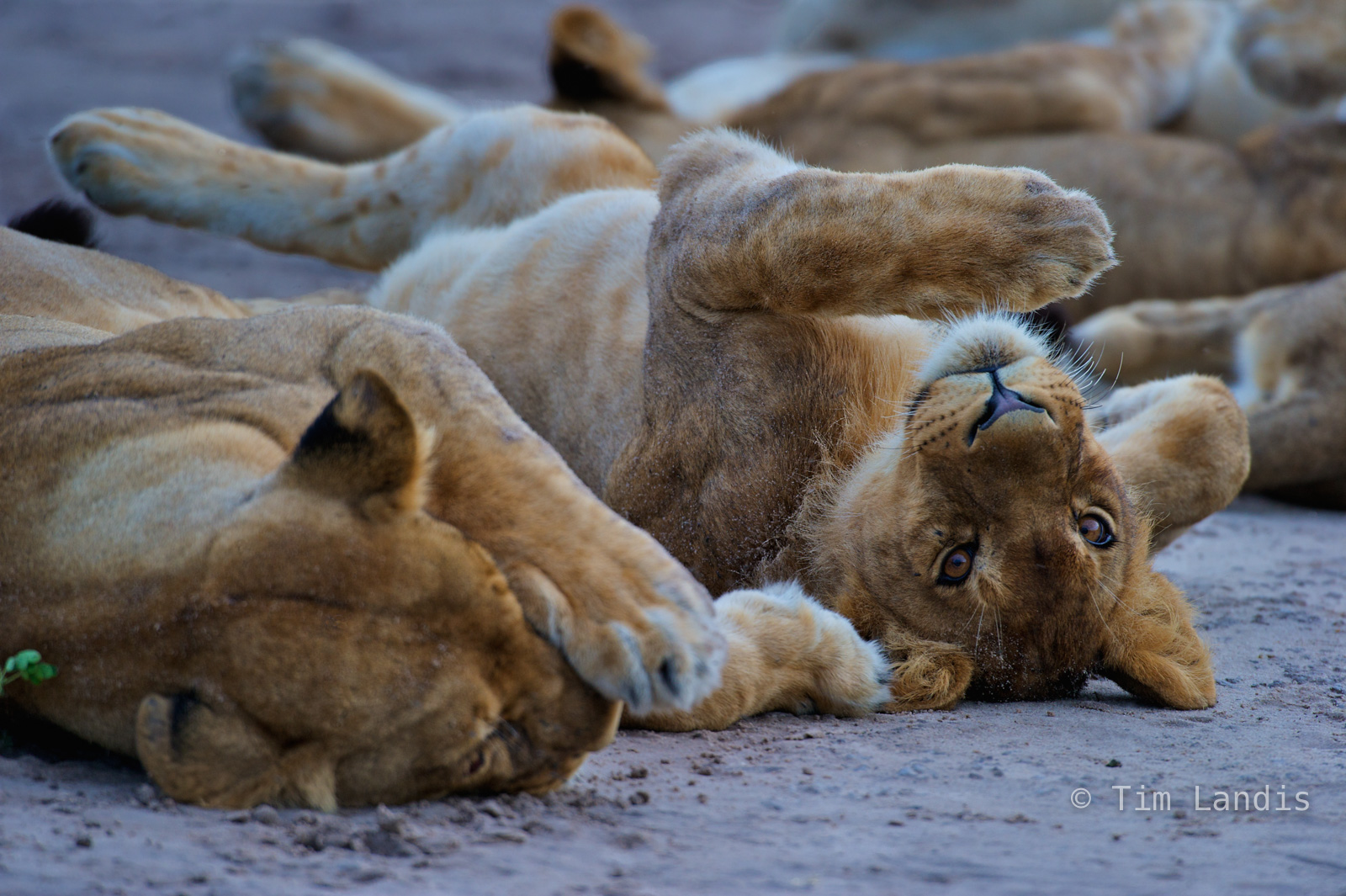 Botswanna, eyes, lions, lions napping, young male lion, photo