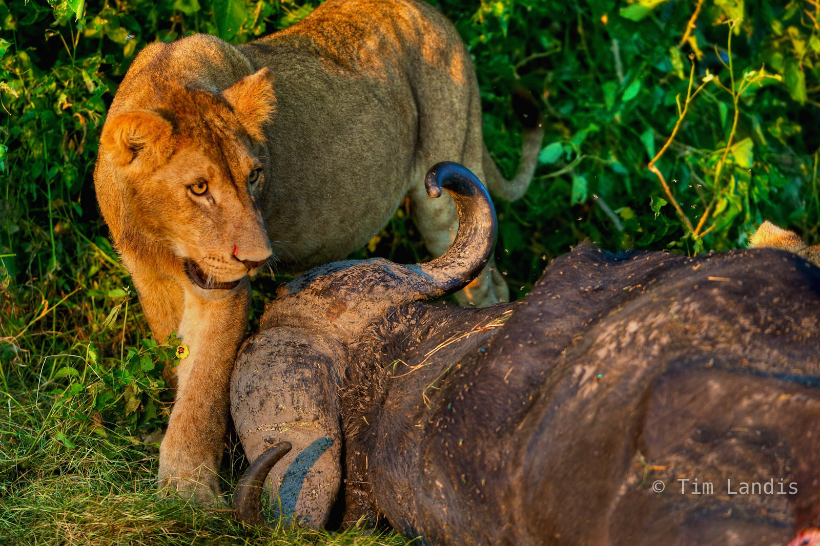 duba Plains, lion and buffalo, lion with kill, photo