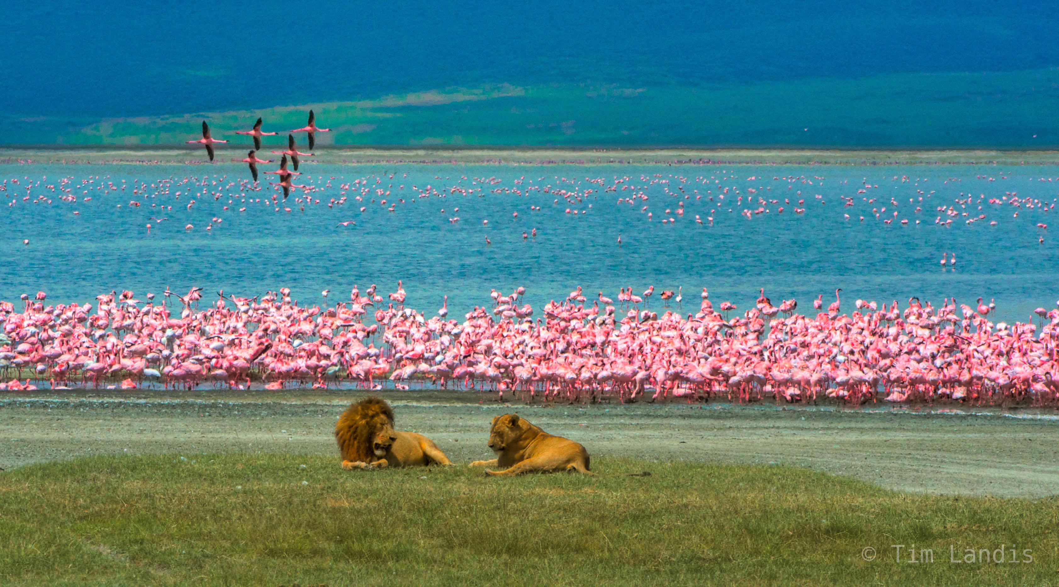 Ngorongoro, flamingos in flight, lesser flamingos, lion, lioness, lions and flamingos, lions mating, tanzania, photo