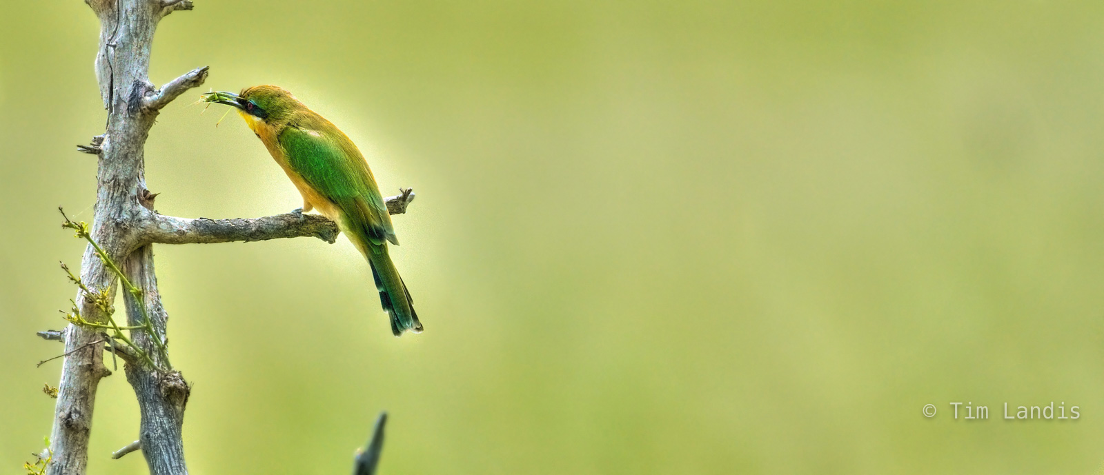 Botswanna, bee eater, bird eating katydid, bird with kill, chobe, exotic birds, photo
