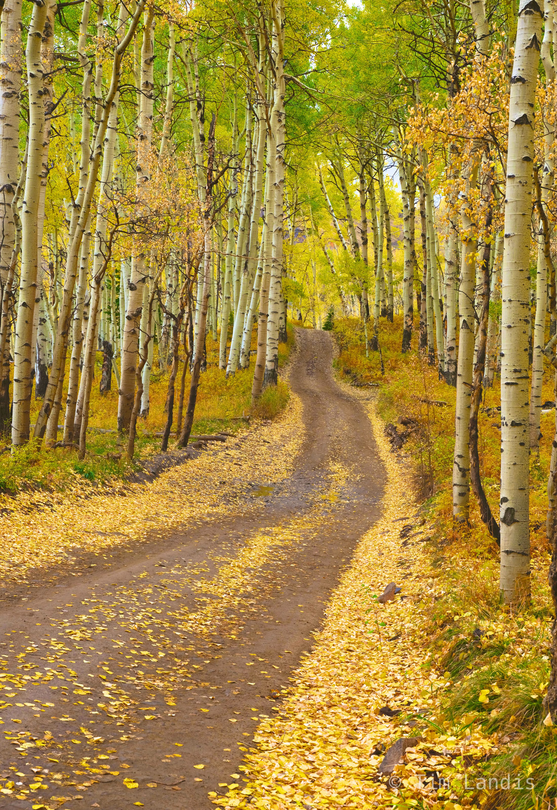 Country roads, scattered aspen leaves, take me home, yellow and green, photo