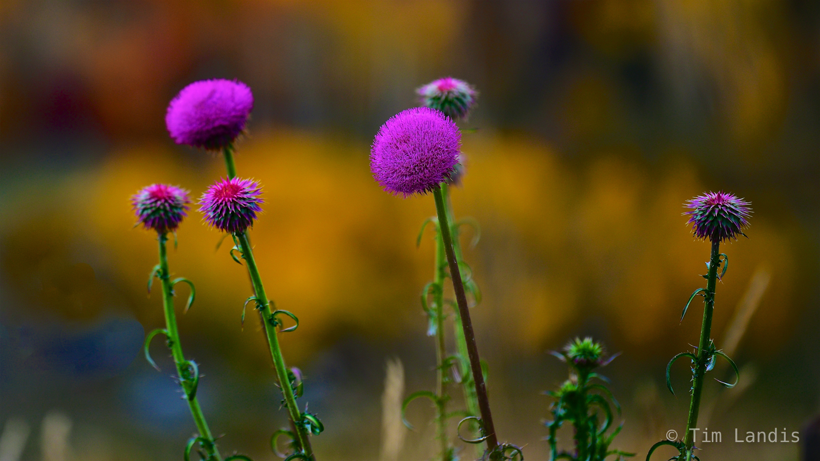 Magenta wild flowers against yellow aspens, photo