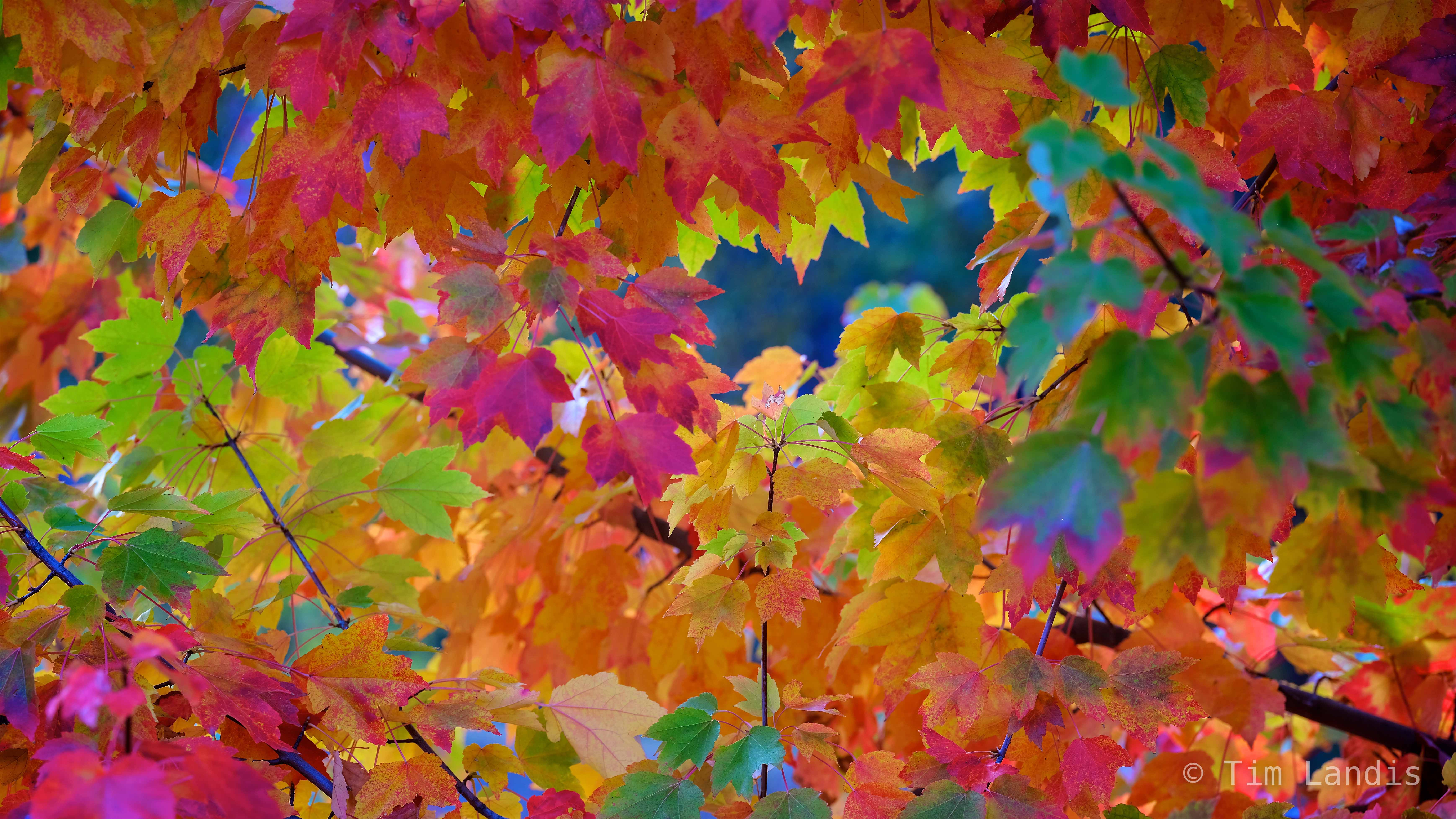 Amazing colors, Maple Tree leaves, full spectrum, greens, magentas, oranges, yellow, photo