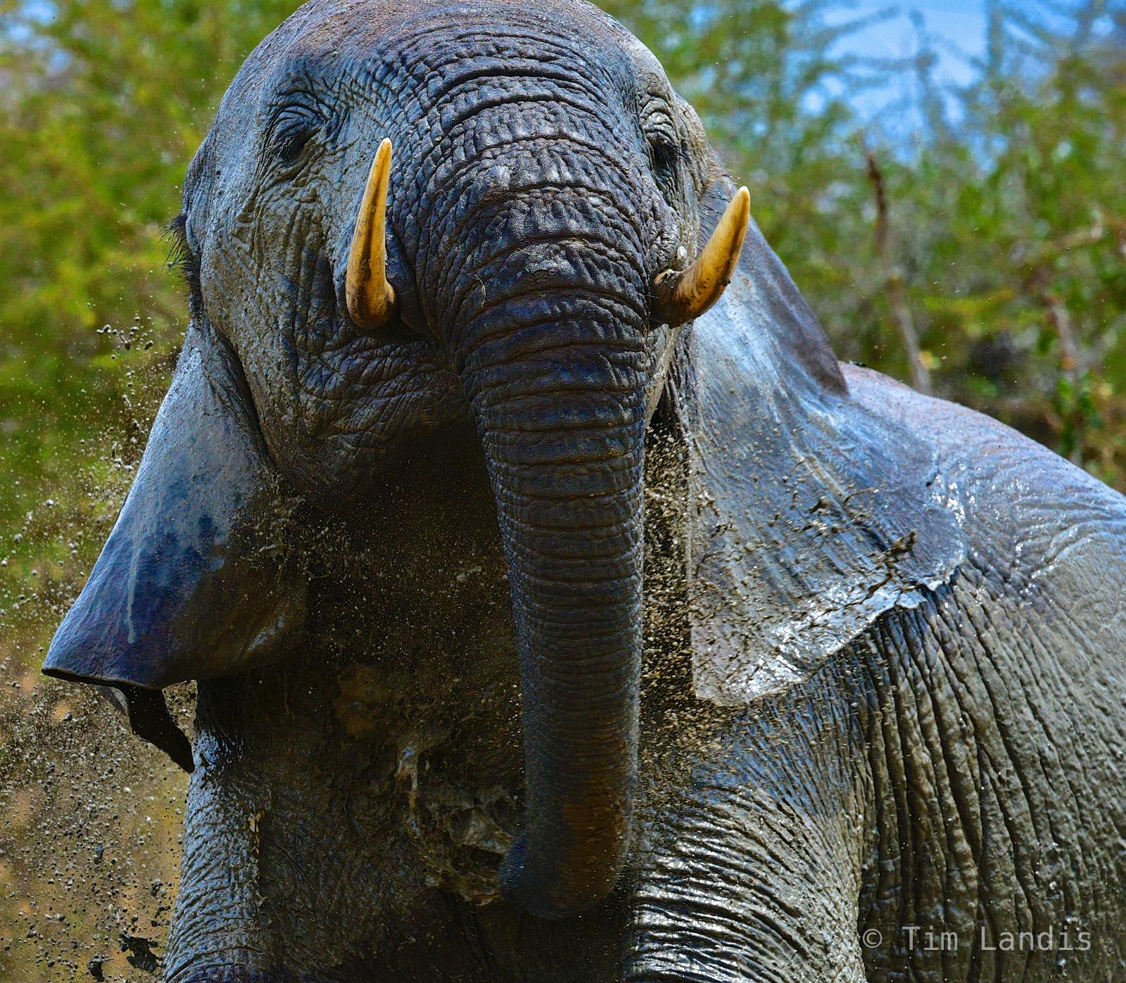 Elephant in his mudhole, happy elephant, pure bliss, photo