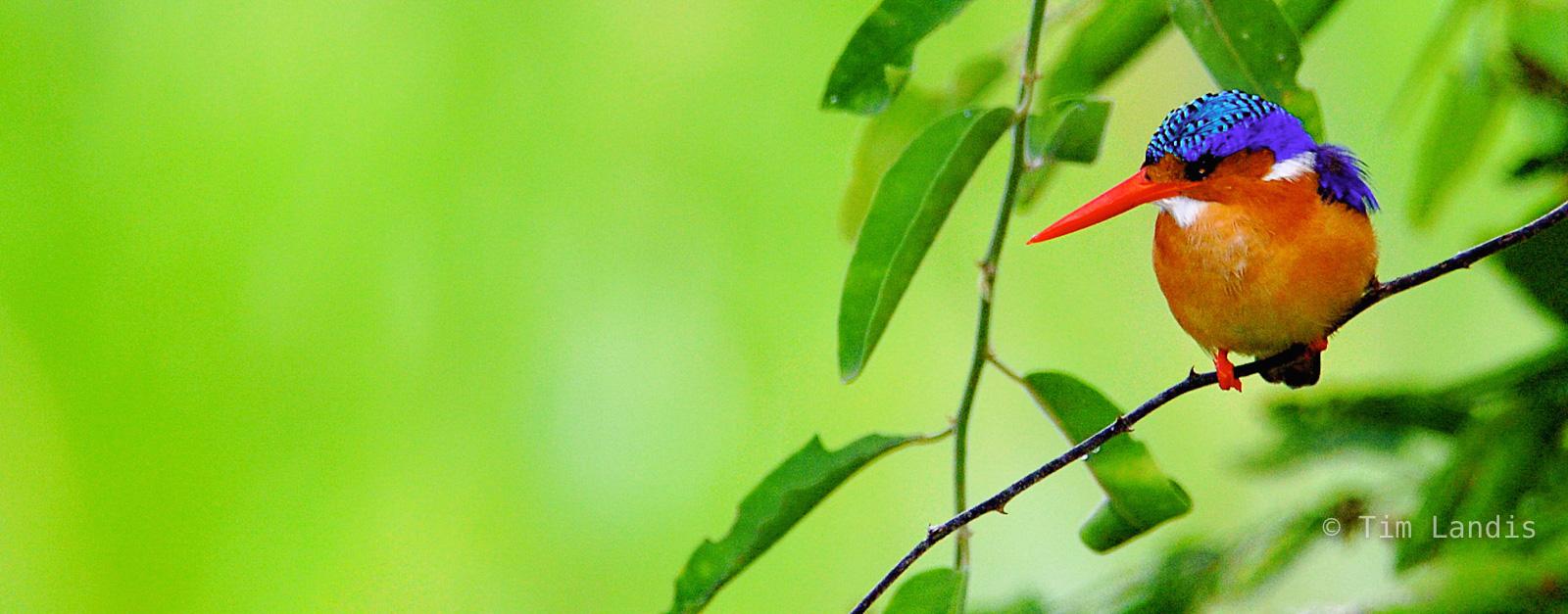 Malachite Kingfisher, african birds, birds, photo