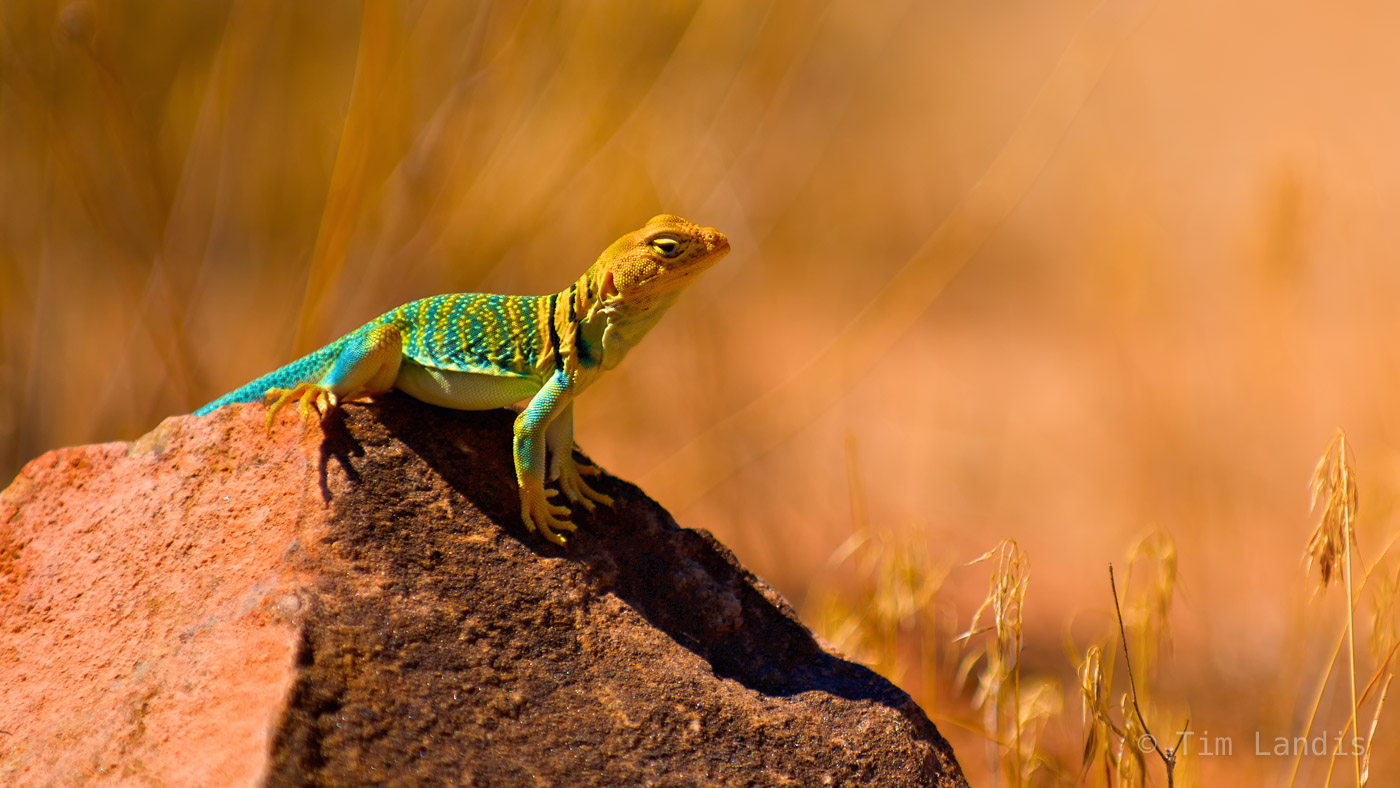 Arches NP, Moab, Utah, great paint job lizard, lizard, reptiles, western collared lizard, photo