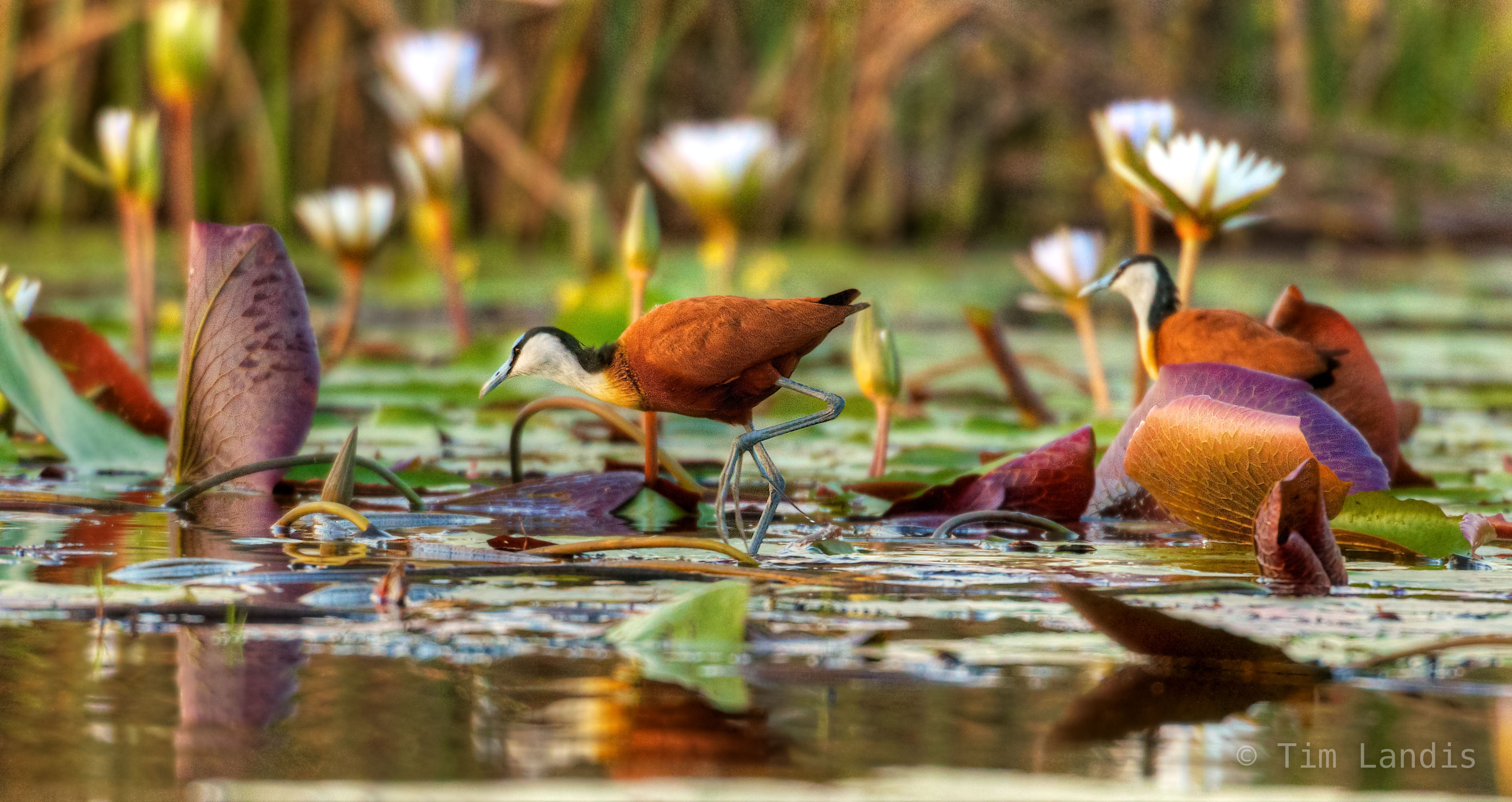 African Jaciana bird, Jacana, Jesus bird, WaterWalker, the bird with really big feet, walk on water, walk on waterlillies, photo
