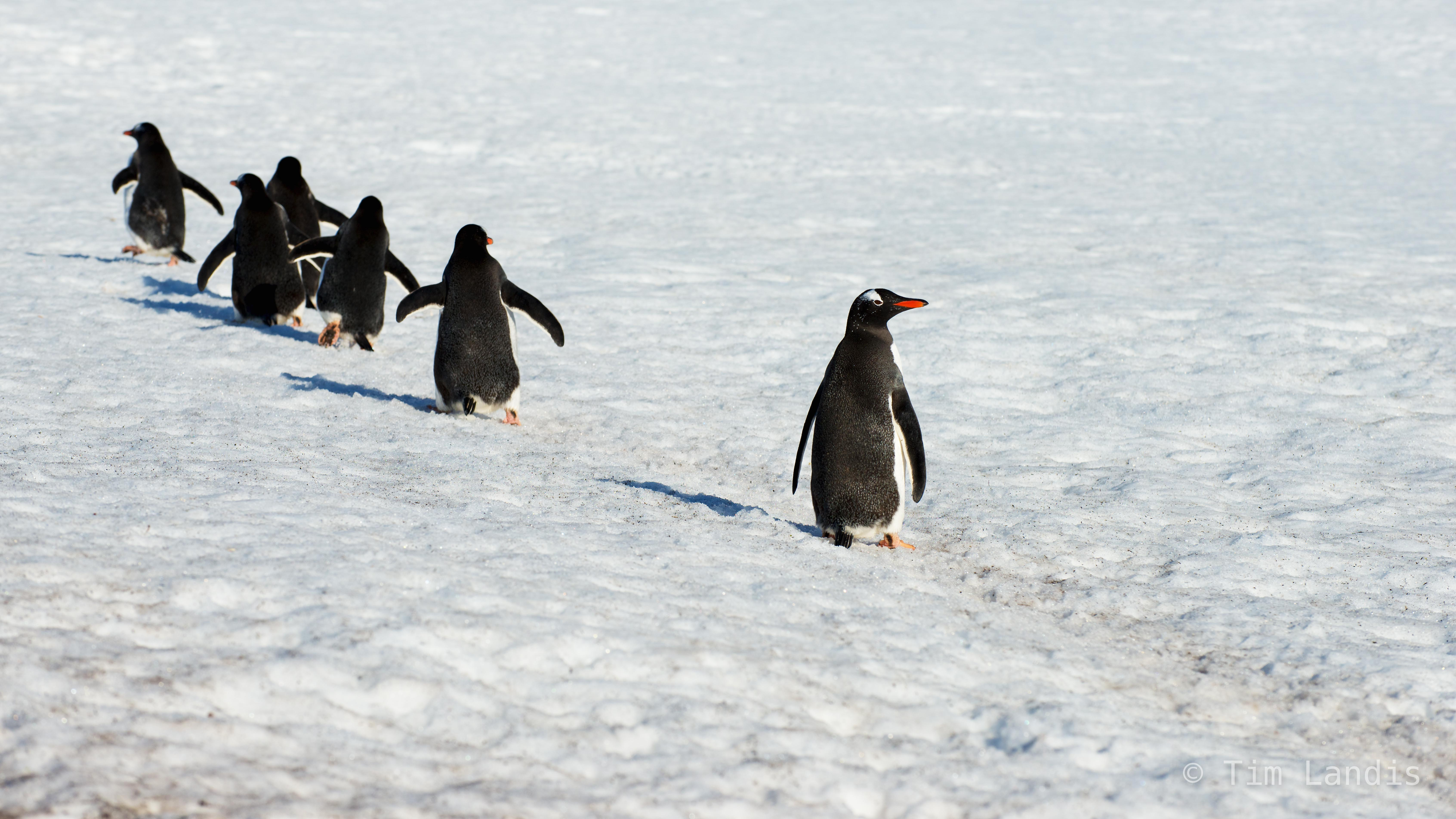 gentoo penguins marching in a line, last one looking over his shoulder, s. georgia island, photo