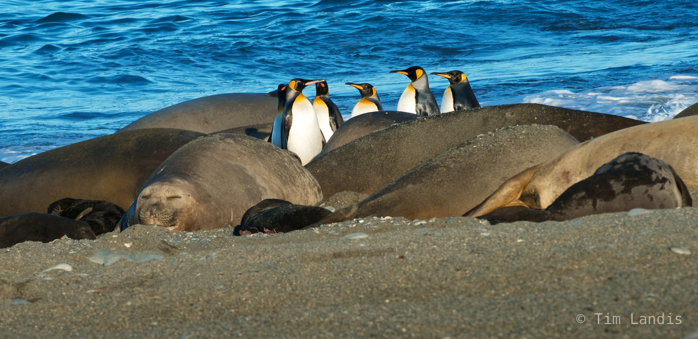 S. georgia Islands, excuse us please, king penguins and elephant seals, photo