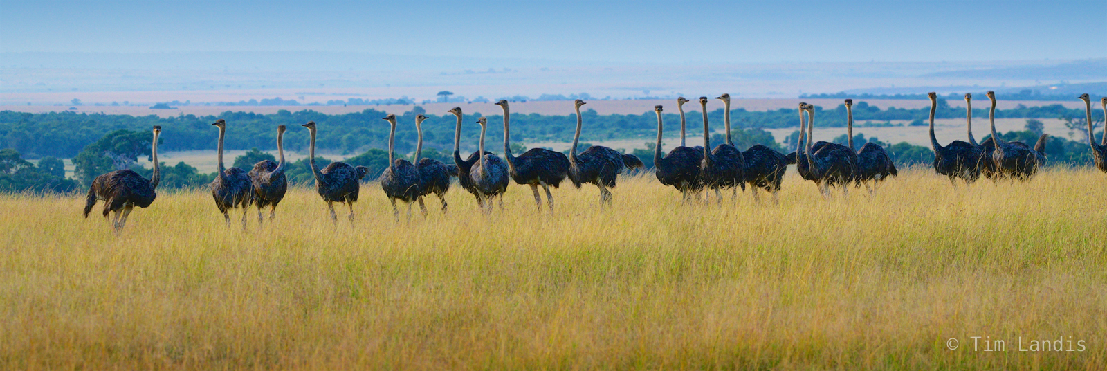 Osterich, osteriches prepare for the night, ostrich formation, the gathering, photo